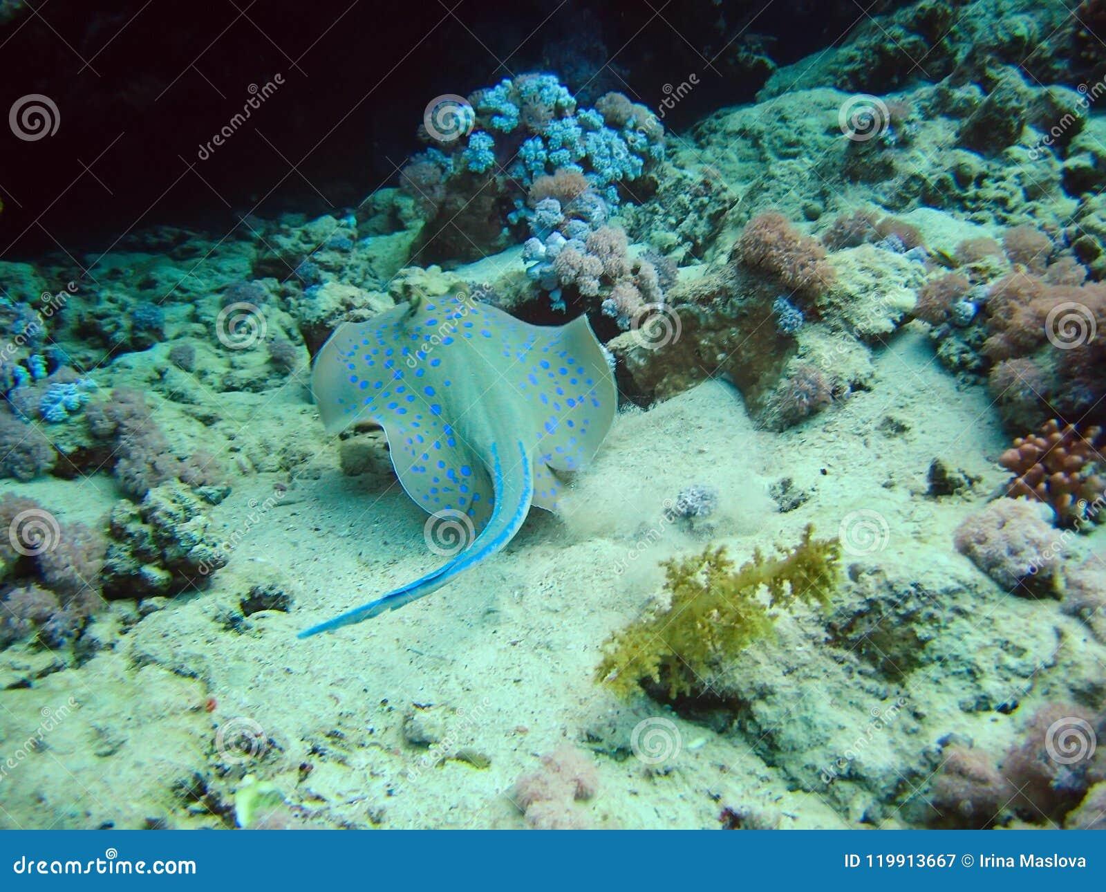 Pescados tropicales de los whiprays de las pastinacas de los roundrays del patín en los arrecifes de coral