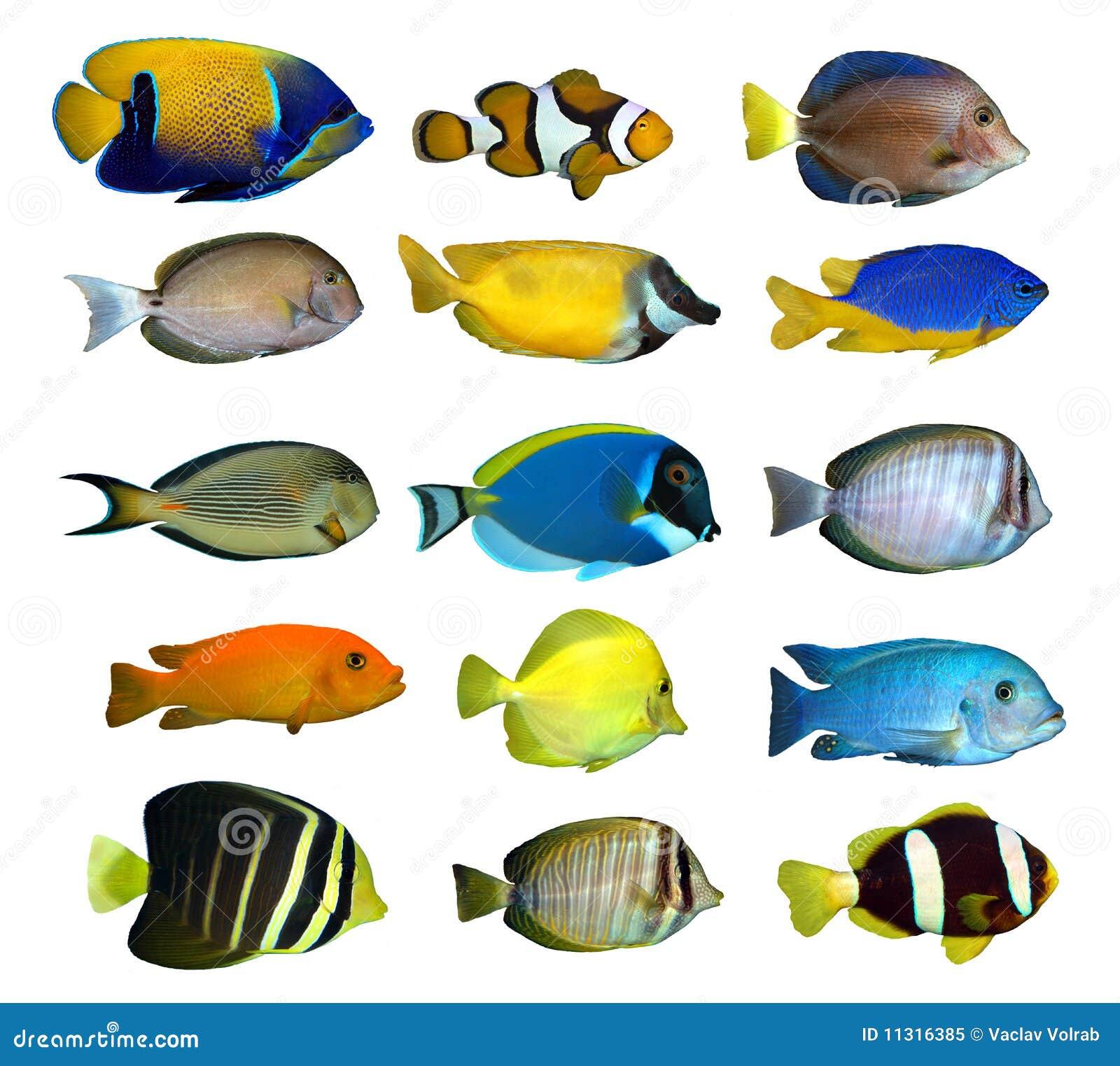 Pescados tropicales del filón