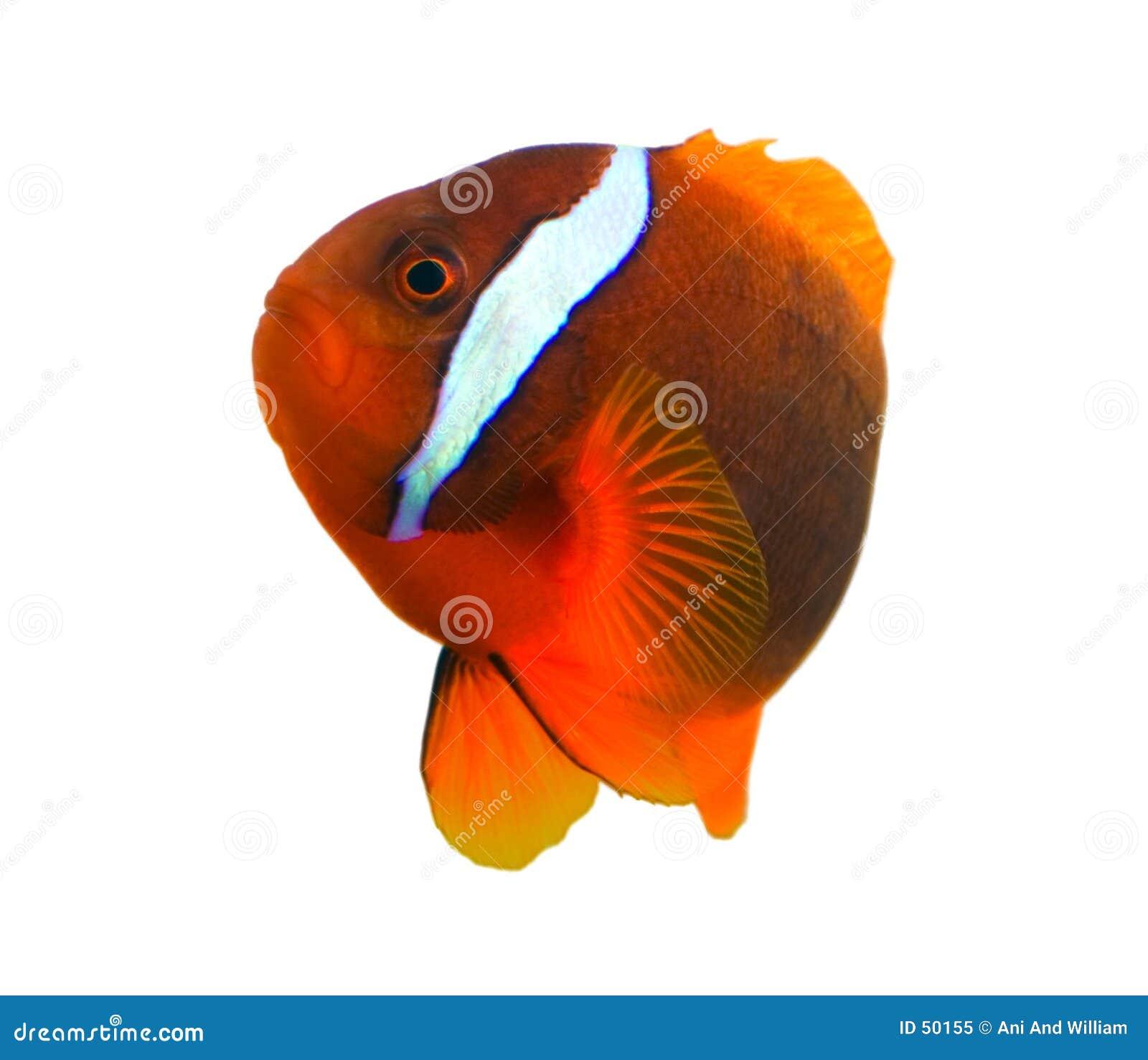 Pescados tropicales del payaso