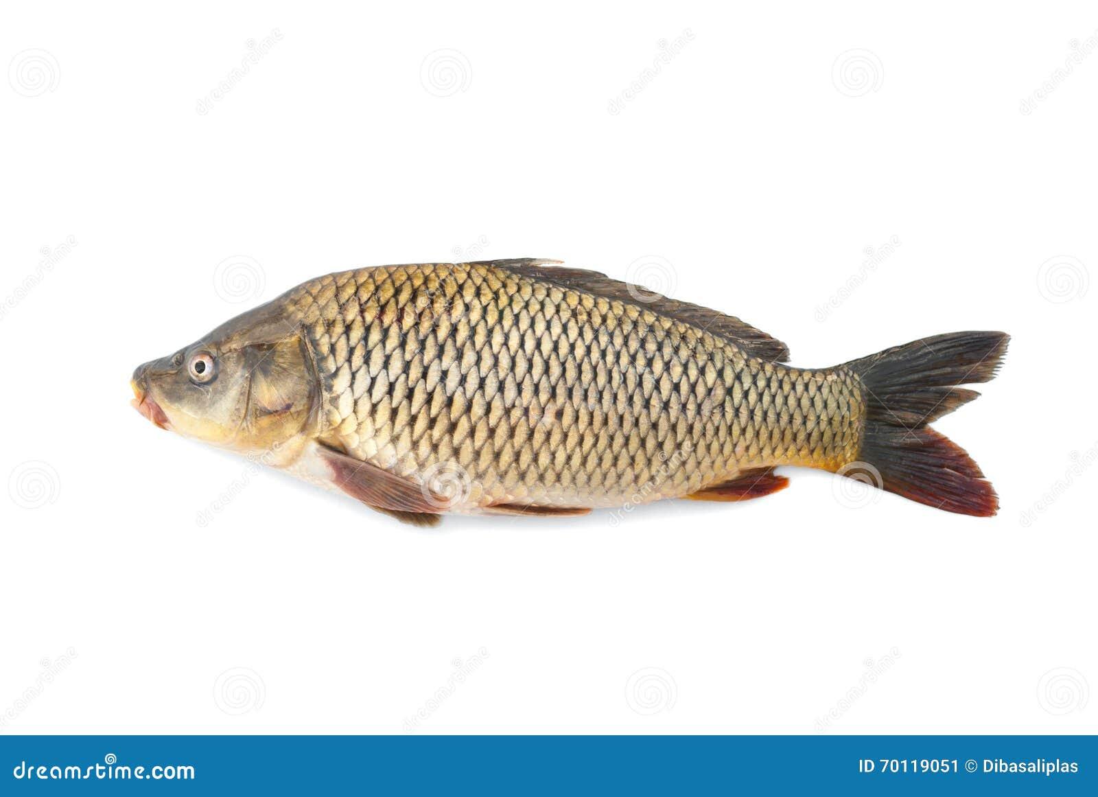 Pescados vivos del r o de la carpa imagen de archivo for Carpa de rio