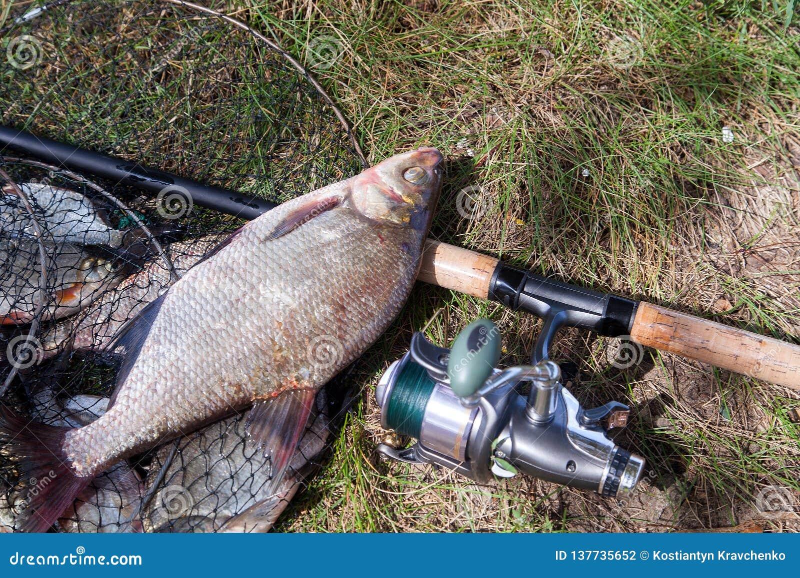 Pescados y caña de pescar comunes de agua dulce grandes de la brema con el carrete en red de aterrizaje