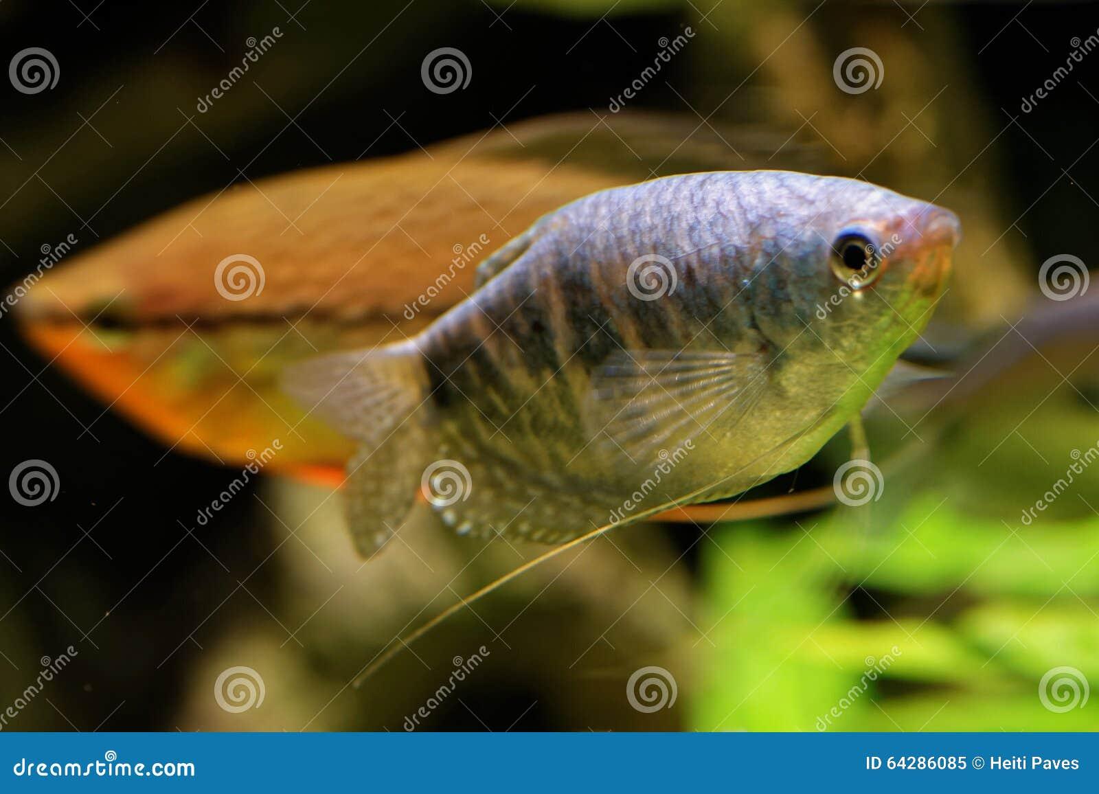 Pesce angelo d 39 acqua dolce immagine stock immagine di for Pesce pulitore acqua dolce