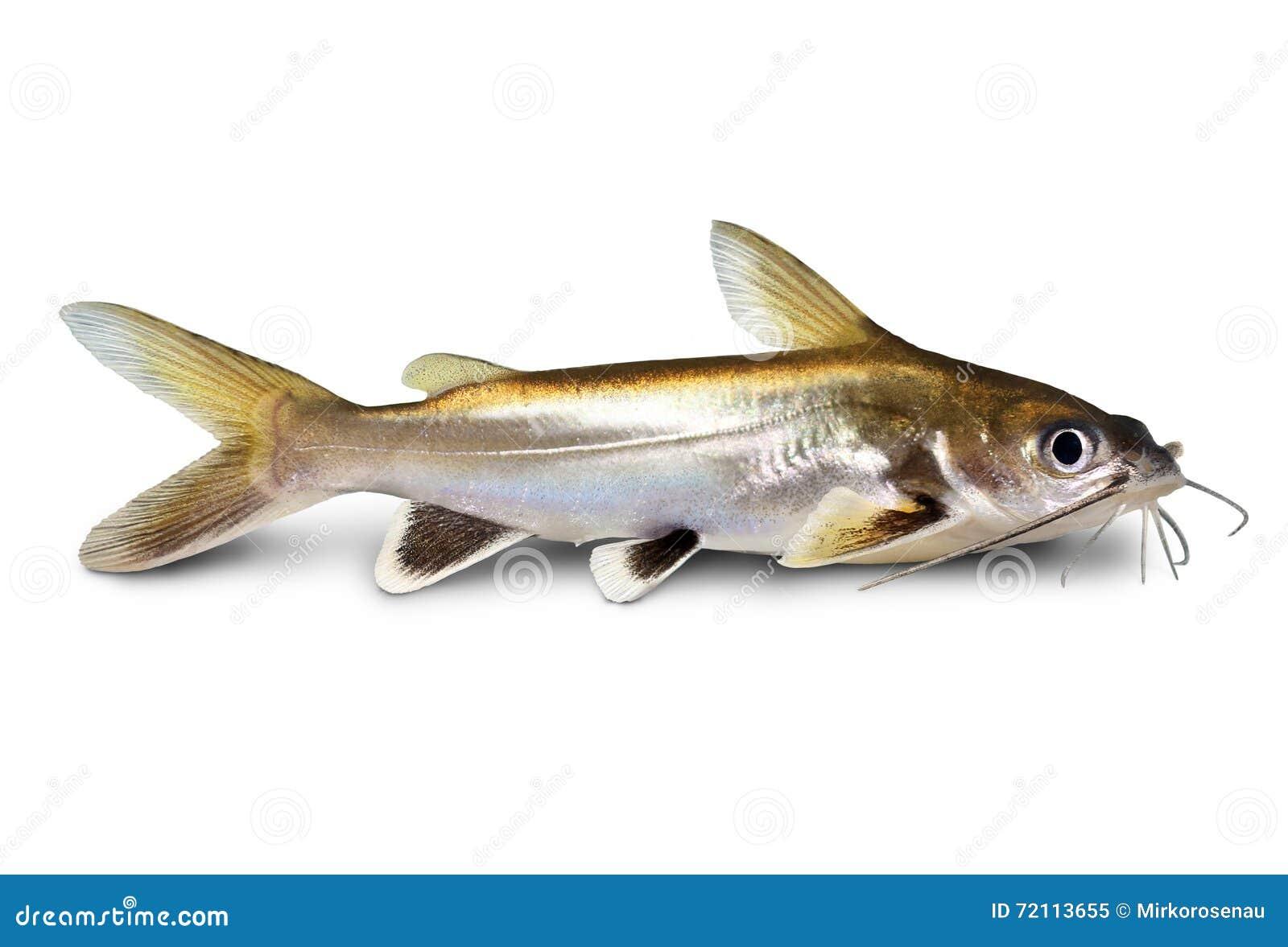 Pesce Argento Fornito Di Punta Dellacquario Fornito Di Punta