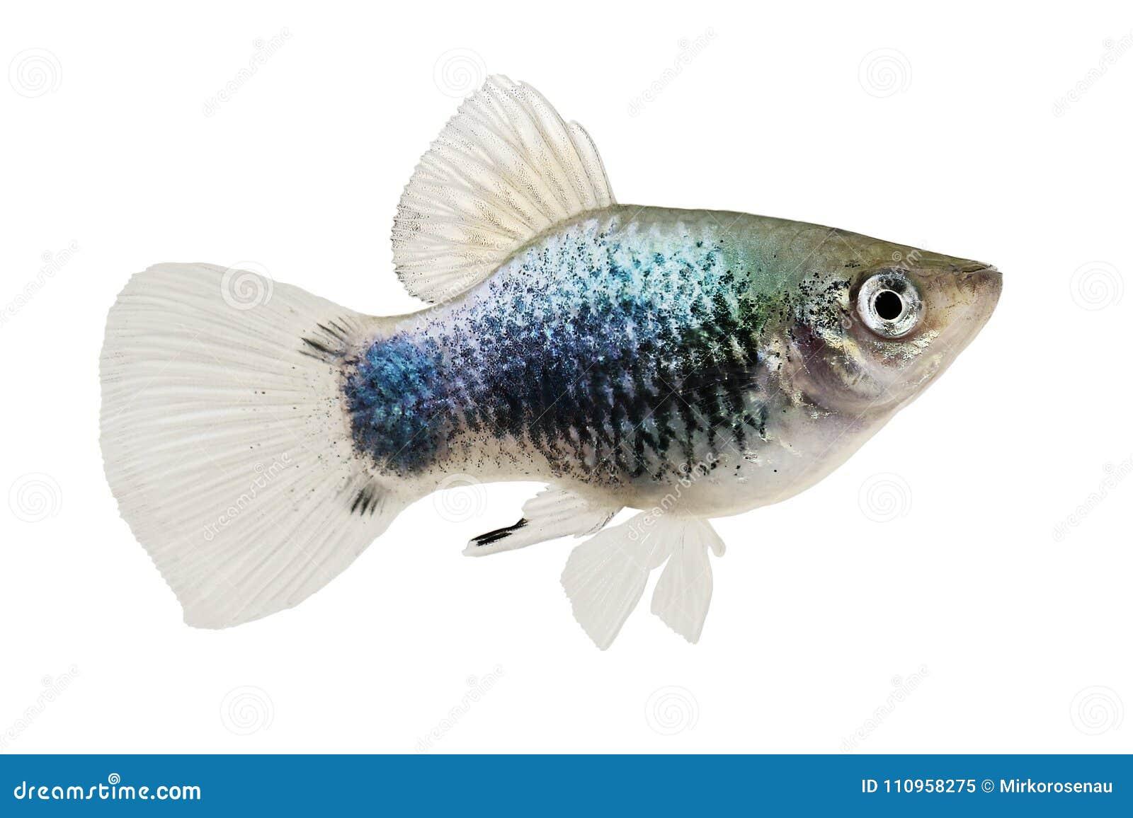 Pesce blu al neon dell acquario di Xiphophorus Maculatus Mickey Mouse Platy della motacilla del Platy