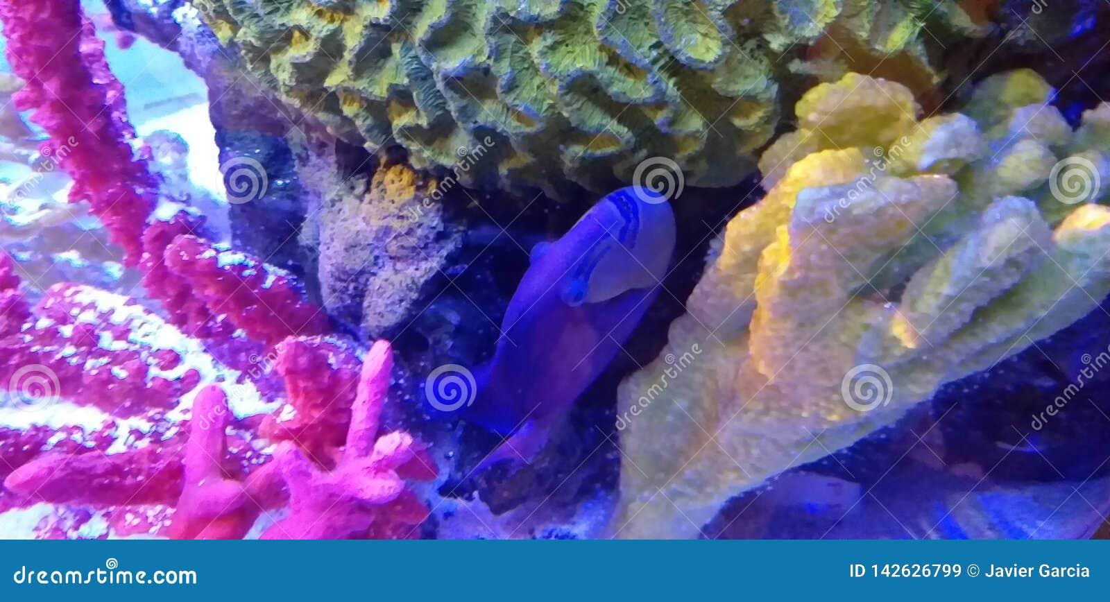 Pesce blu intenso in acquario