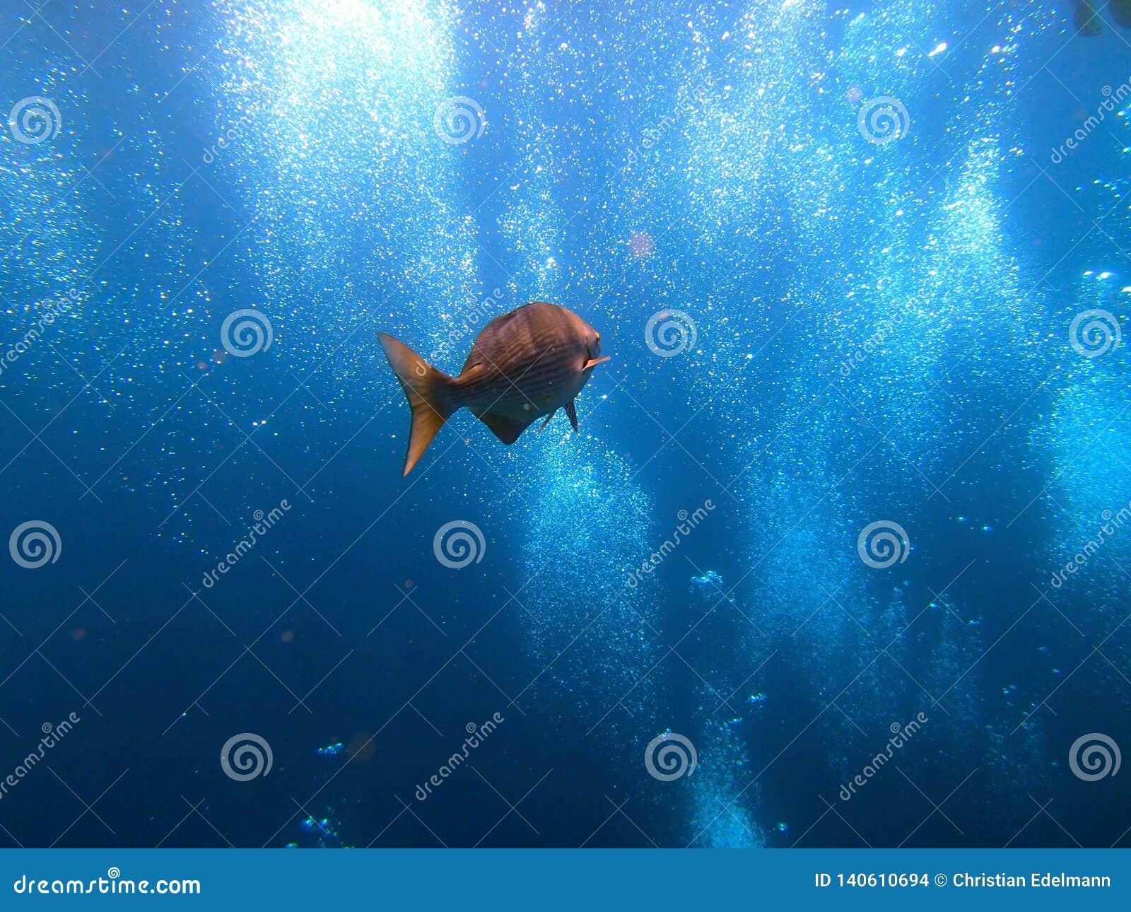 Pesce con le bolle dell operatore subacqueo - Bali Indonesia Asia di USS Liberty del naufragio