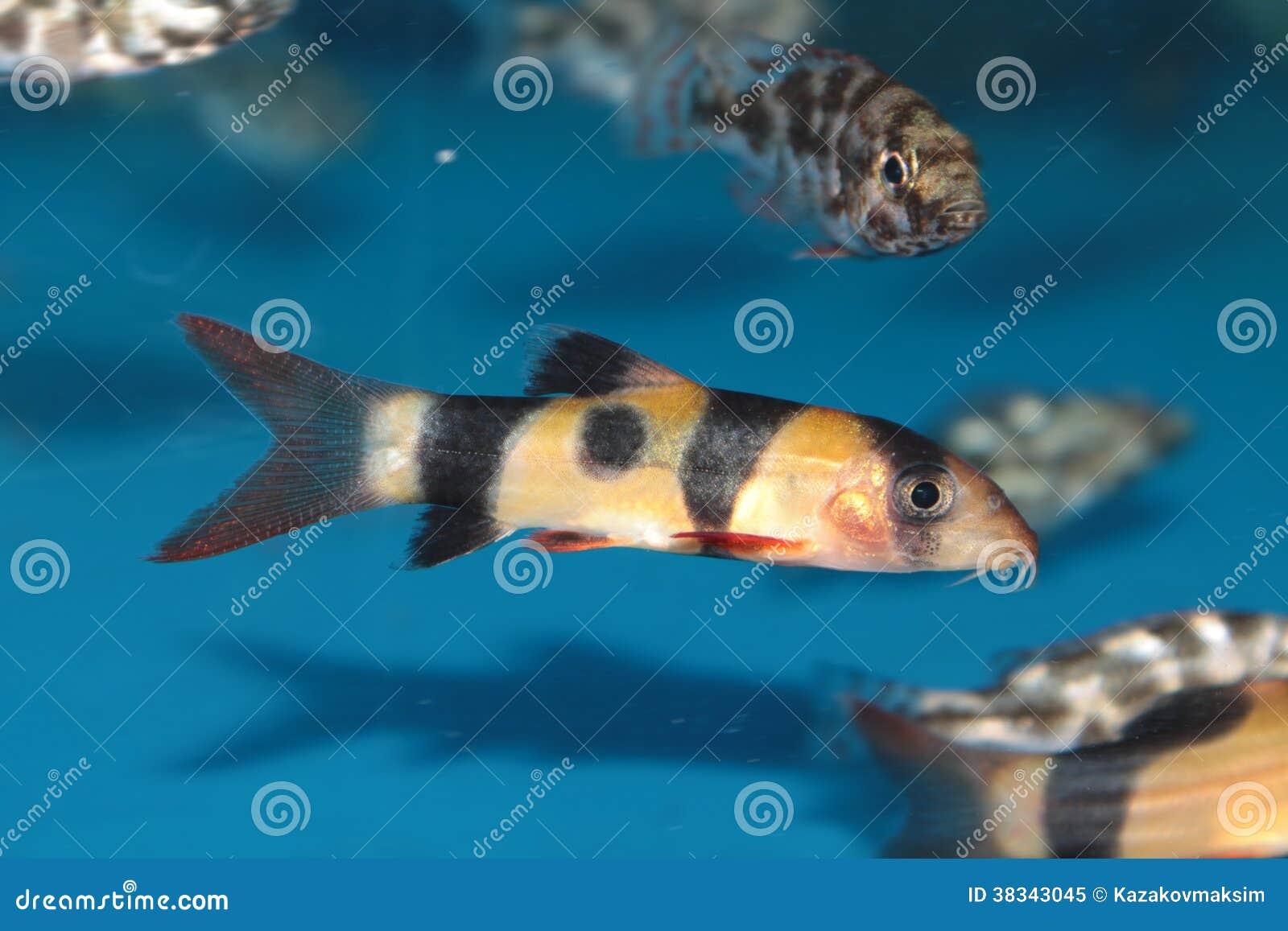Pesce d 39 acqua dolce dell 39 acquario della cobite del for Pesce pulitore acqua dolce