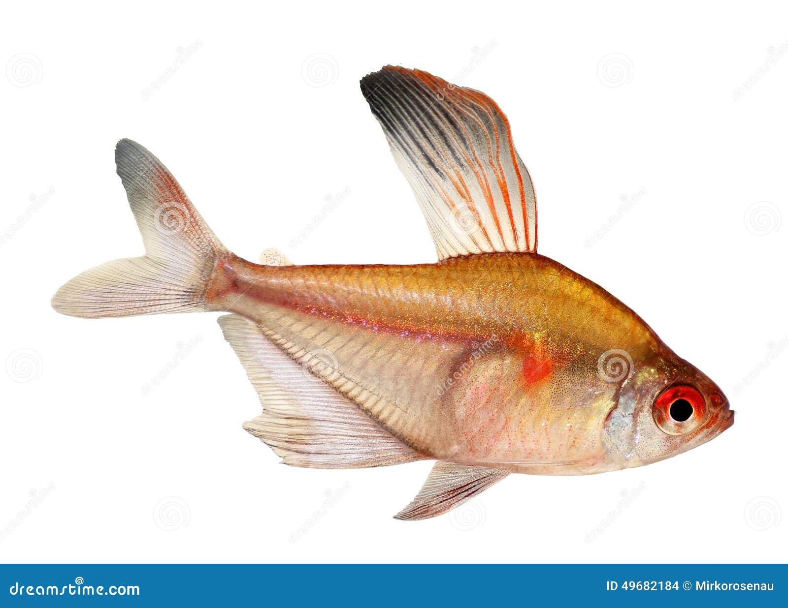 Pesce d 39 acqua dolce dell 39 acquario di hyphessobrycon for Acquario tetra