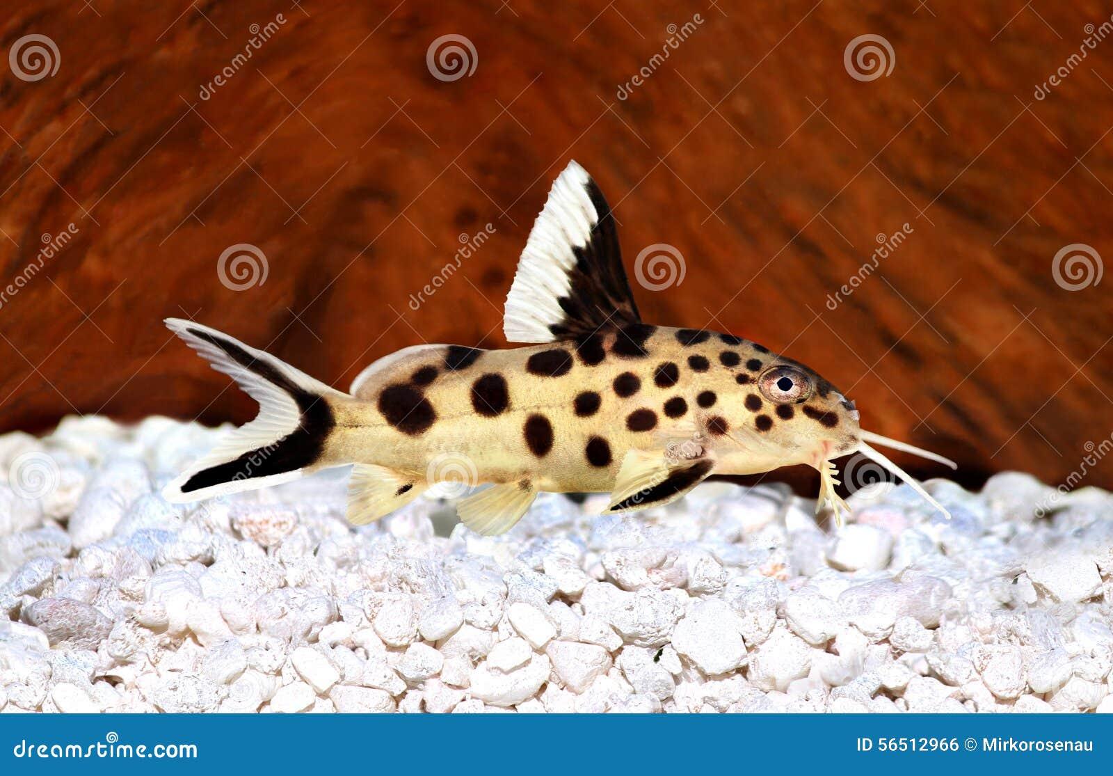 Pesce d 39 acqua dolce dell 39 acquario di multipunctatus di for Pesce pulitore acqua dolce