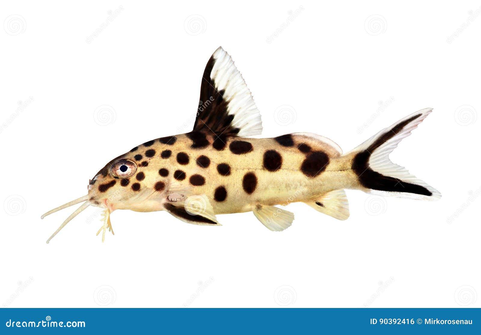 Pesce Dacqua Dolce Dellacquario Di Multipunctatus Di Synodontis
