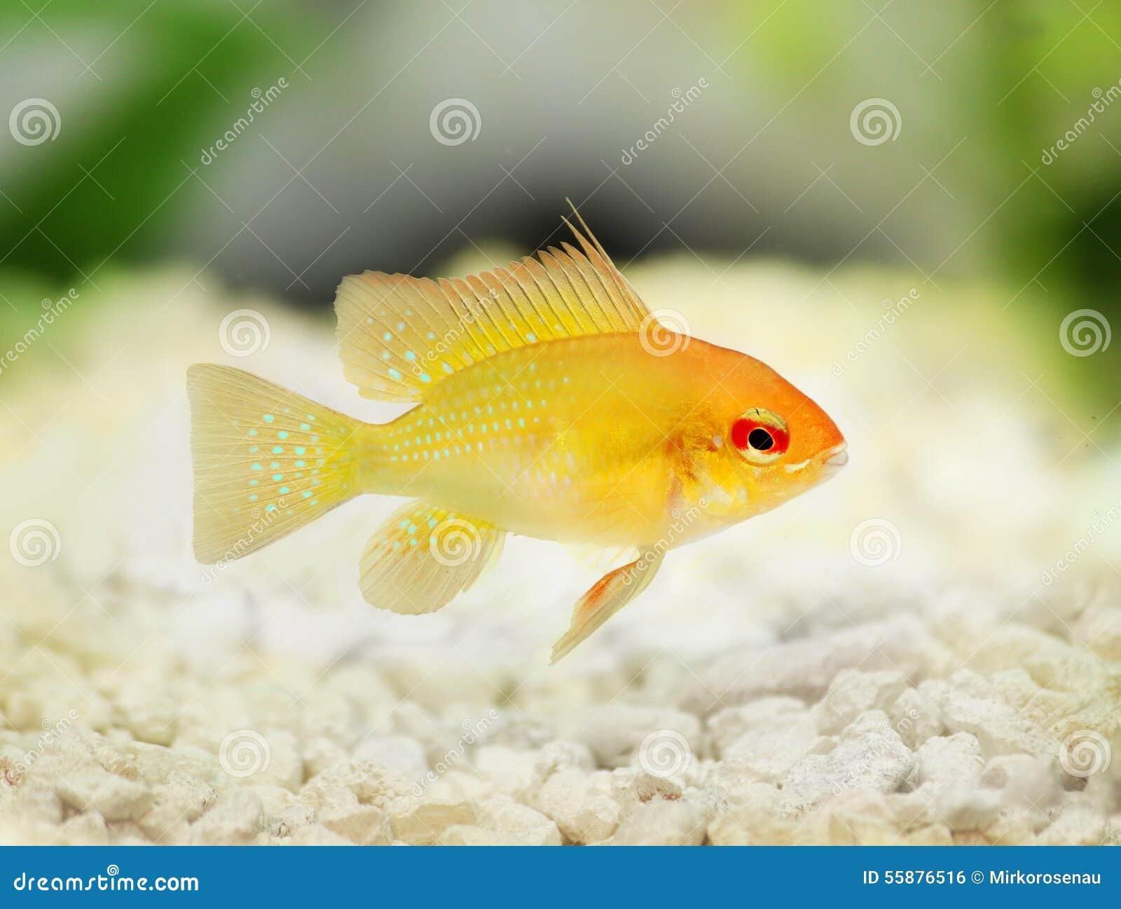 Pesce d 39 acqua dolce dell 39 acquario di ram dwarf delle for Pesce pulitore acqua dolce fredda