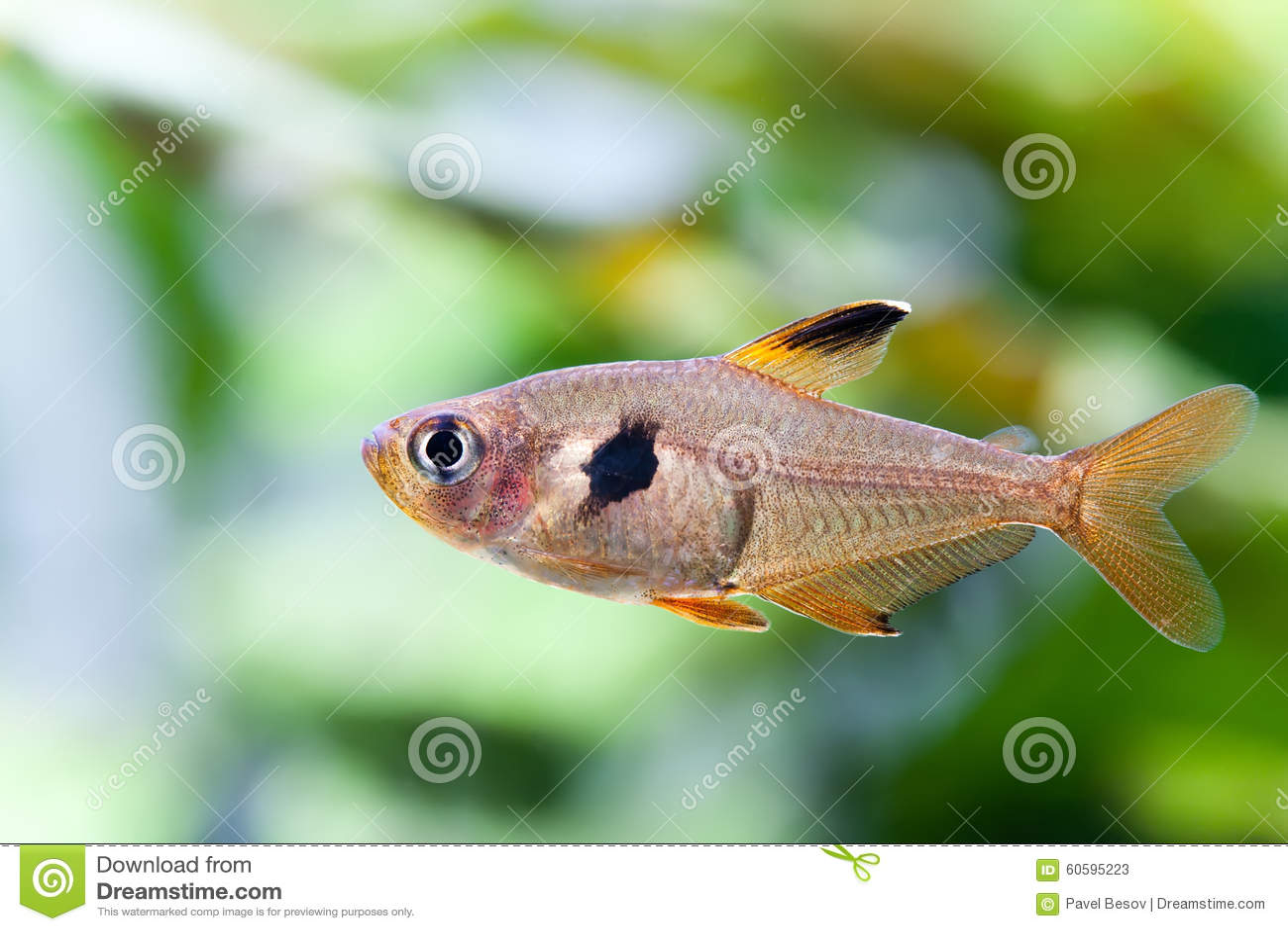 Pesce d 39 acqua dolce naturale rosy tetra dell 39 acquario del for Pesce pulitore acqua dolce