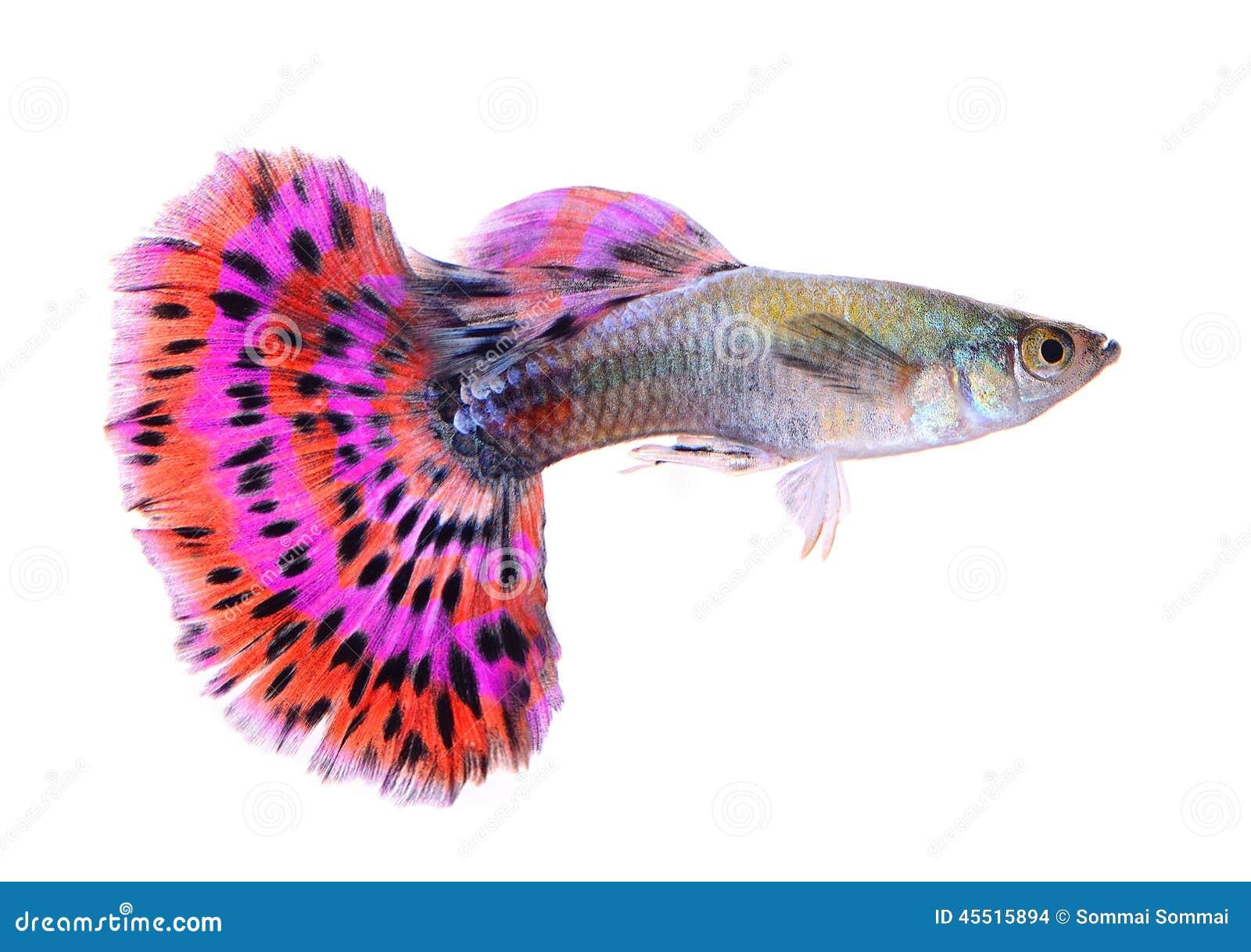 Pesce del Guppy isolato su fondo bianco