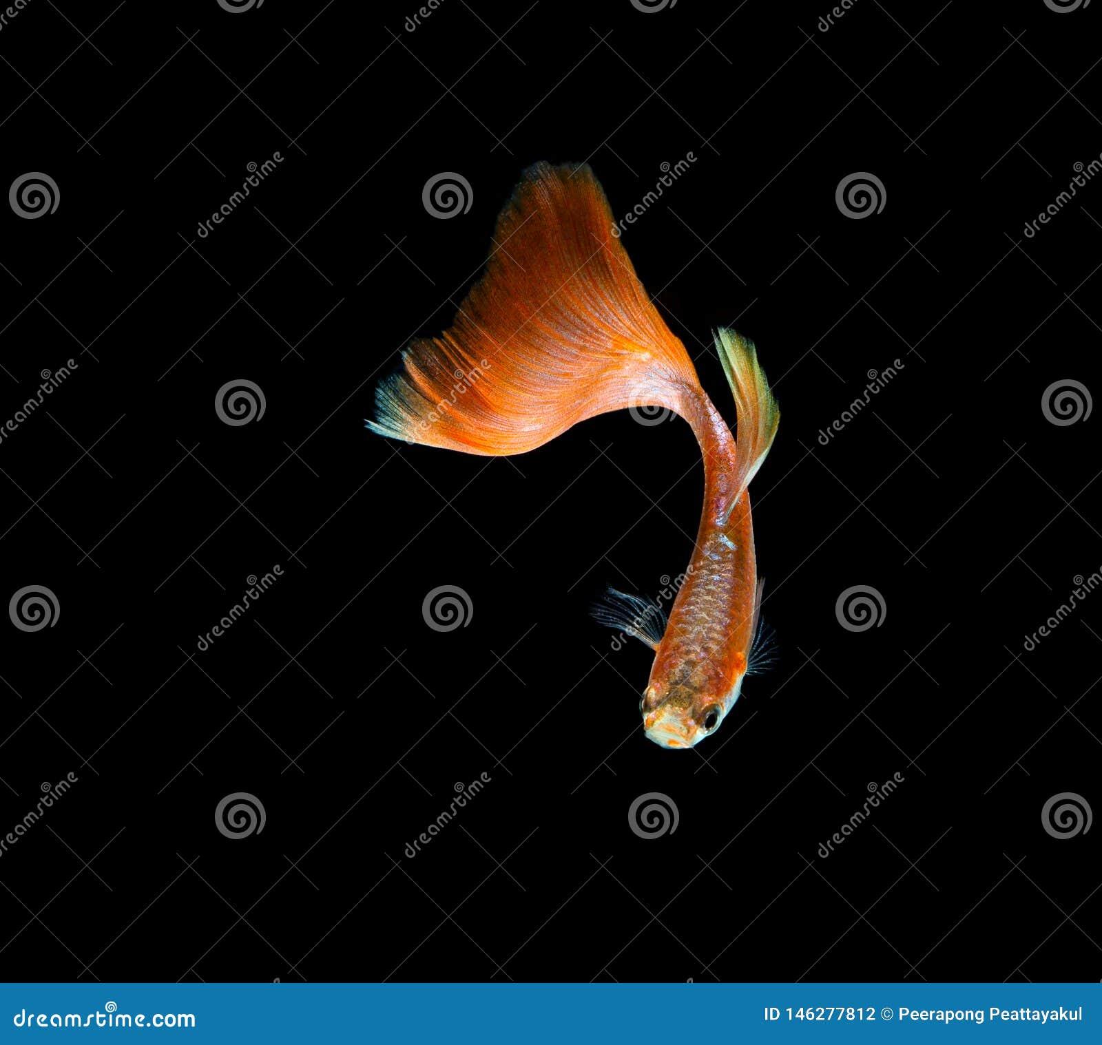 Pesce del Guppy isolato su fondo nero
