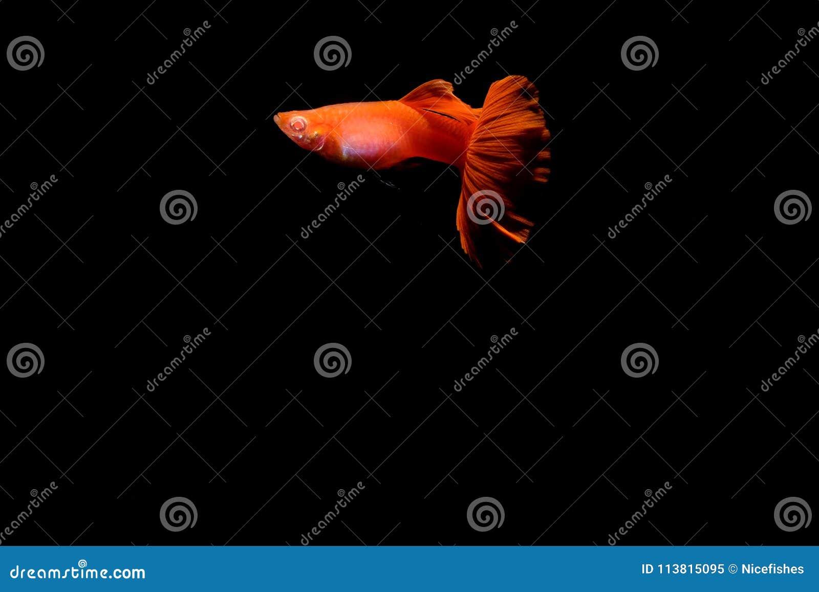 Pesce del Guppy nell acquario