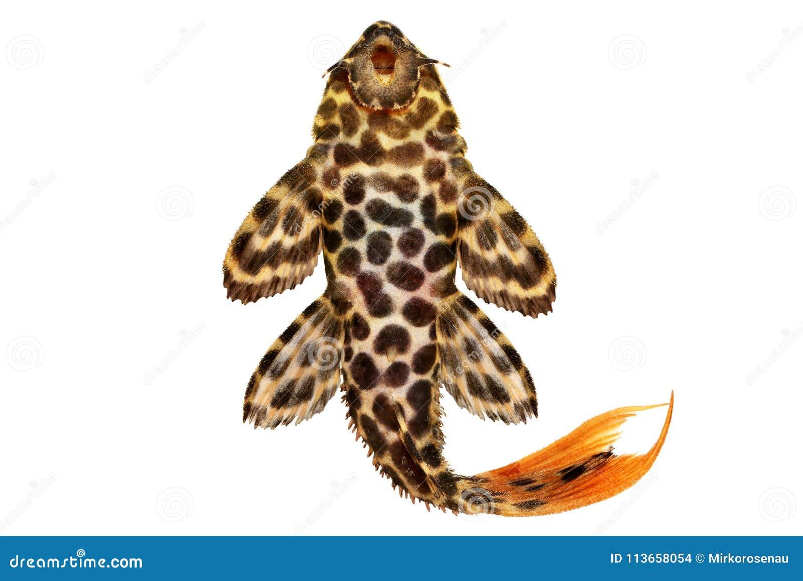 Pesce dell acquario di leopardus di Pleco Pseudacanthicus del cactus del leopardo