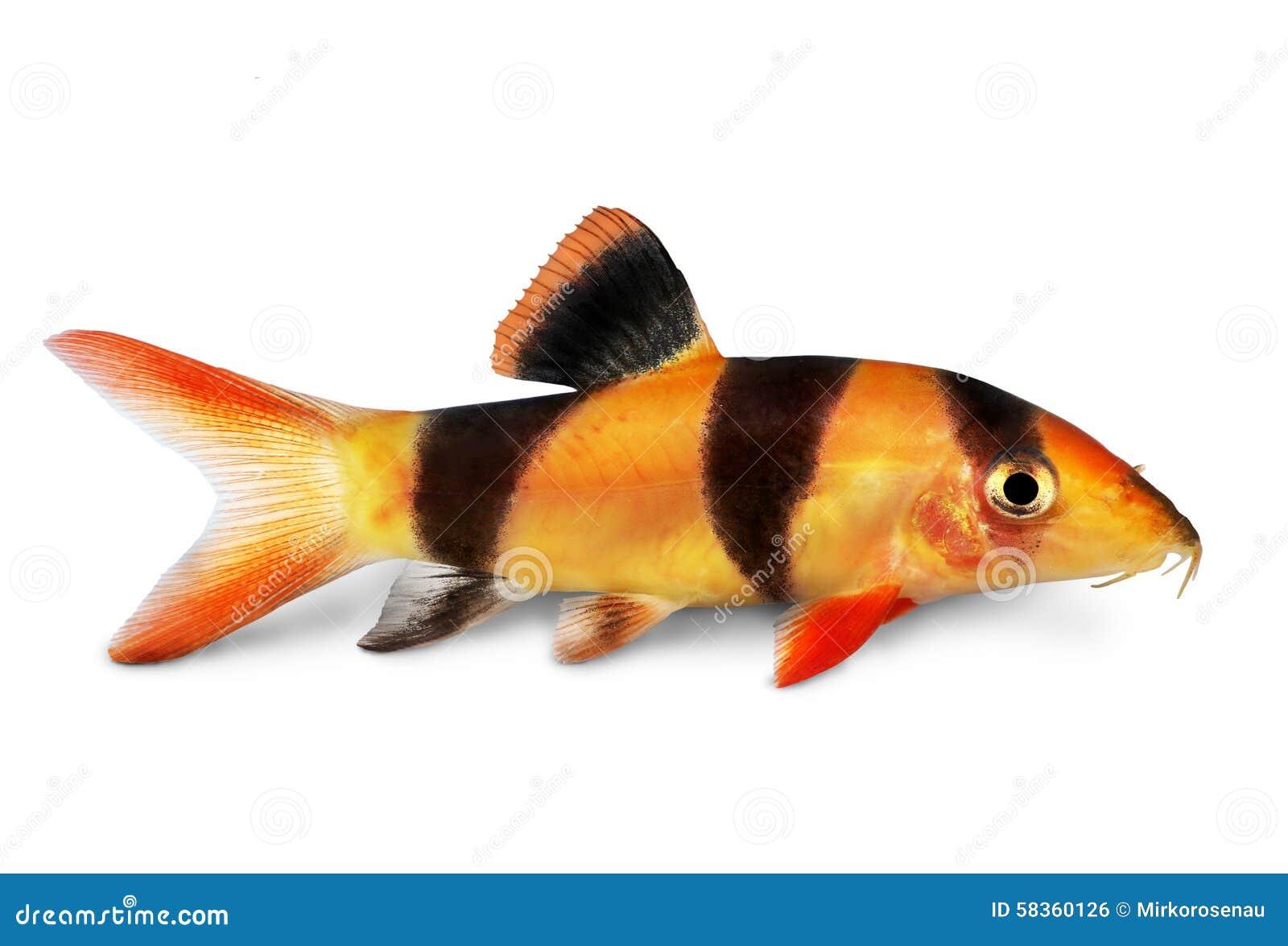 Pesce dell 39 acquario di macracanthus di botia del pesce for Pesce gatto acquario