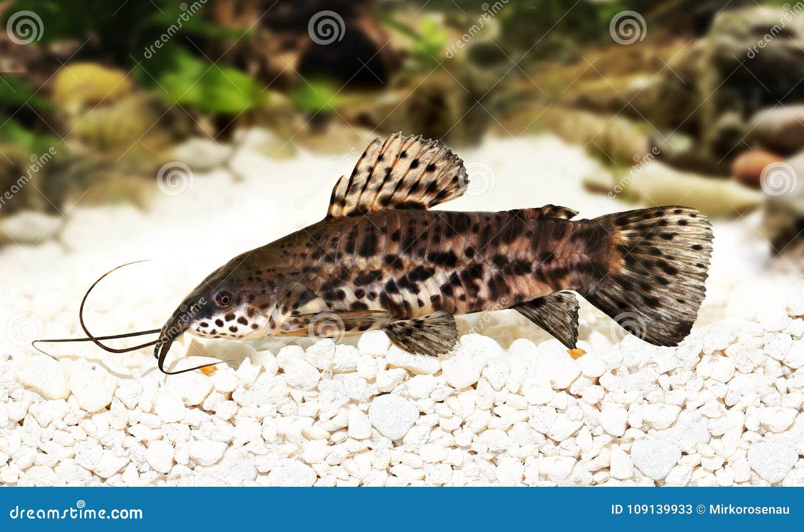Pesce Dellacquario Di Thoracatum Di Hoplosternum Del Pesce Gatto Di