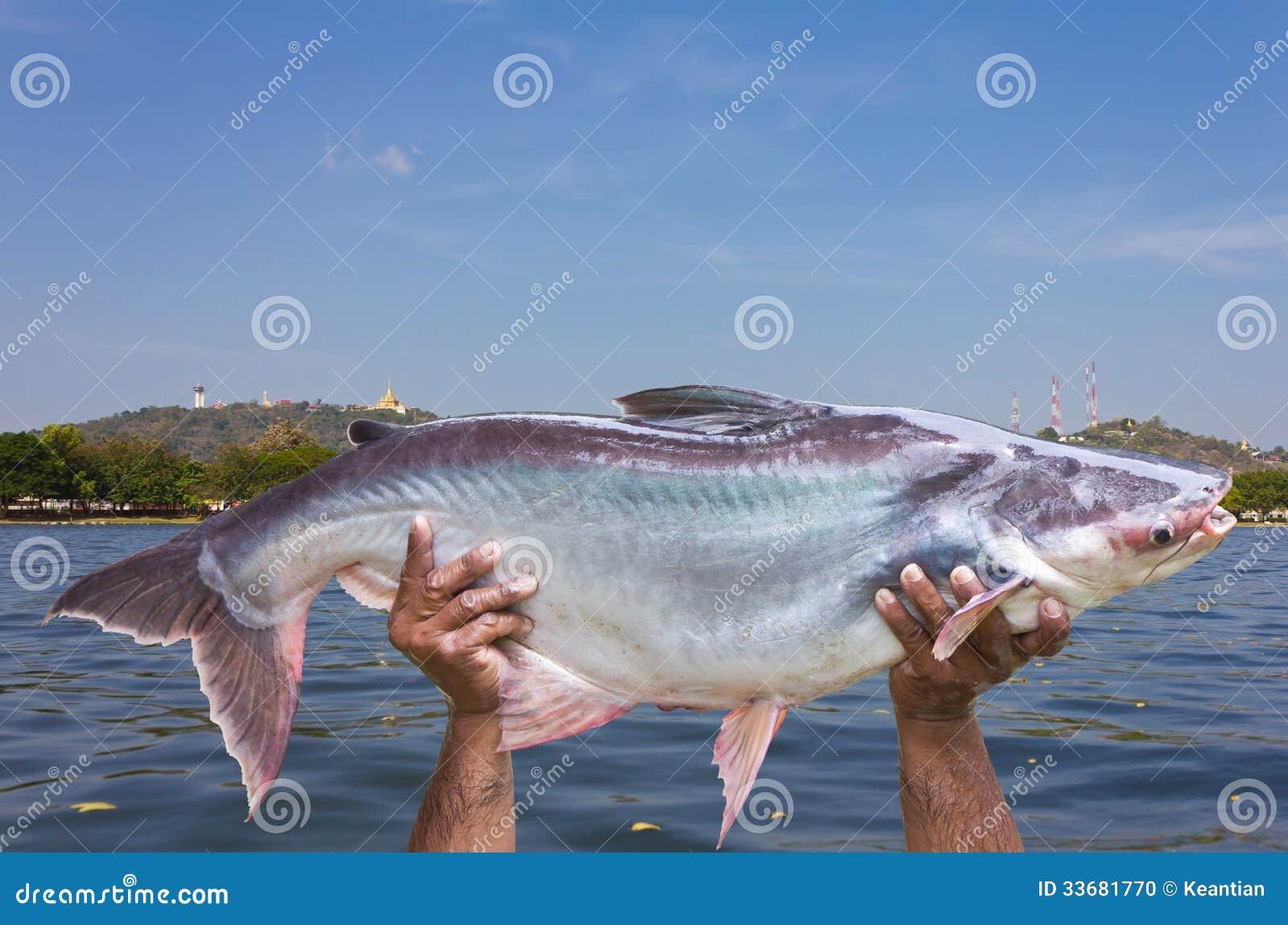 Pesce di acqua dolce gigante fotografia stock immagine for Pesce pulitore acqua dolce