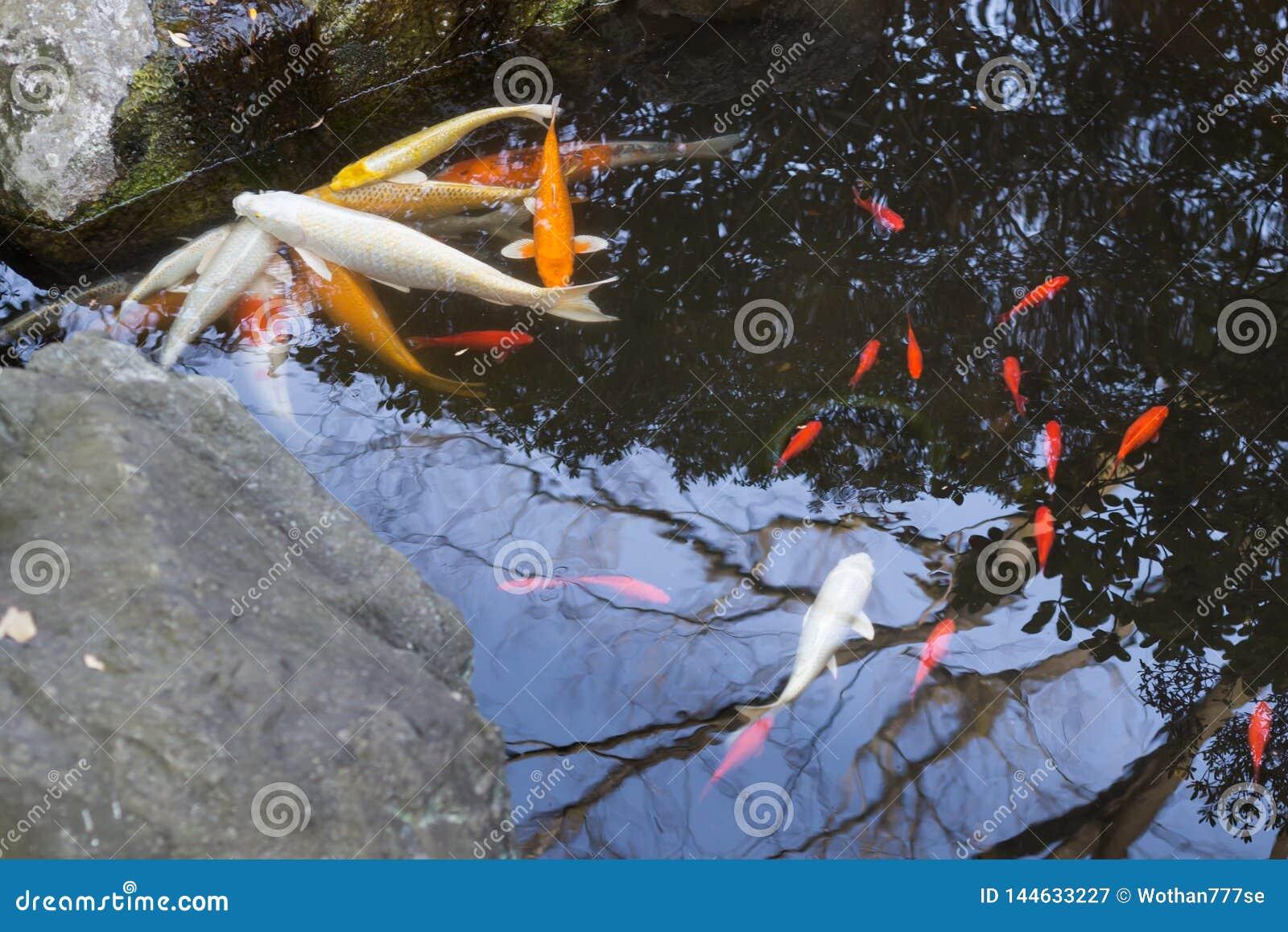 Pesce di Coi in un giardino giapponese