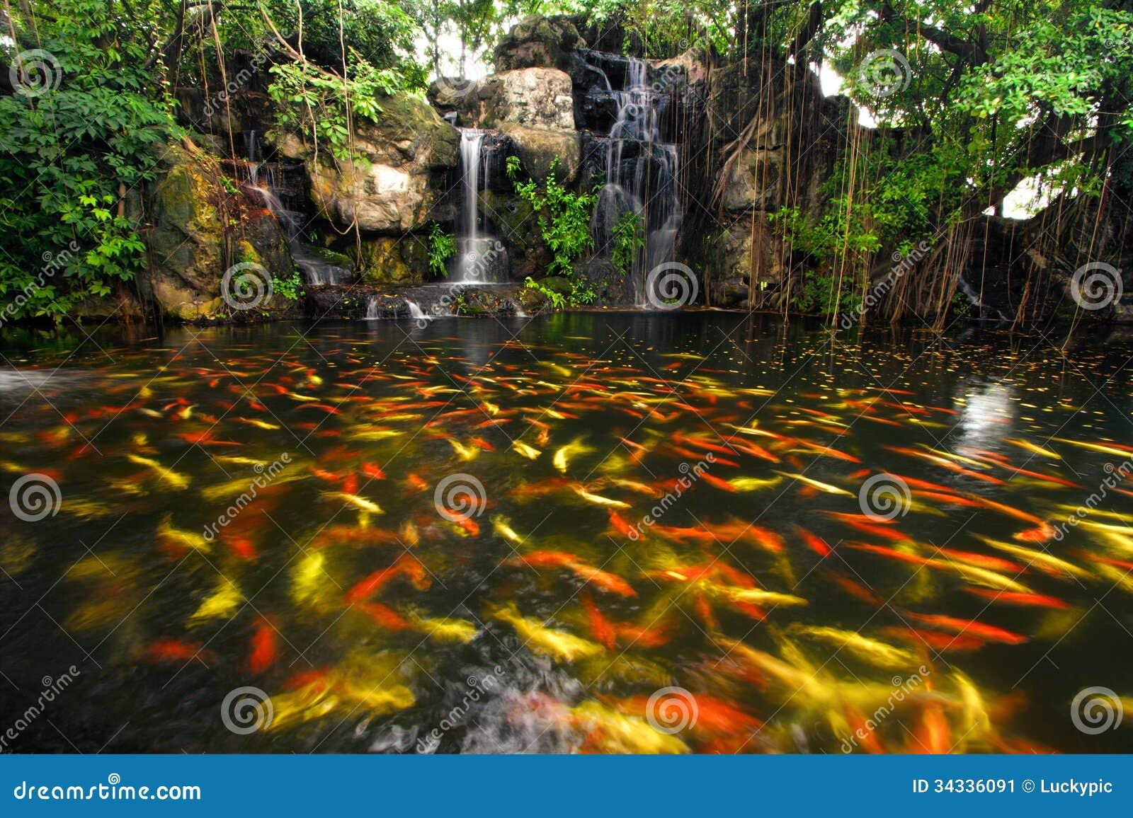 Pesce di koi in stagno al giardino immagine stock for Stagno giardino