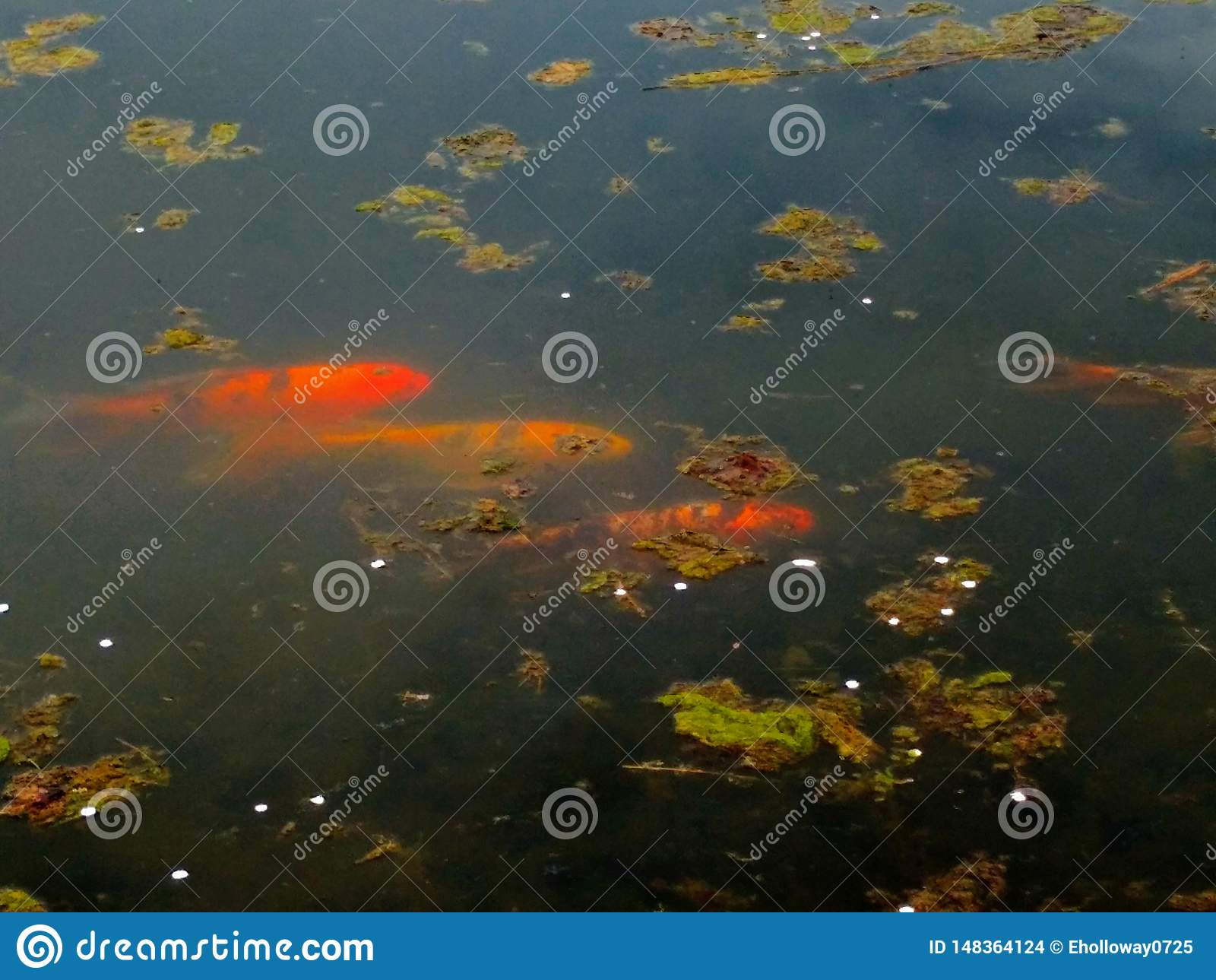 Pesce di koi tre in un nuoto dello stagno in primavera