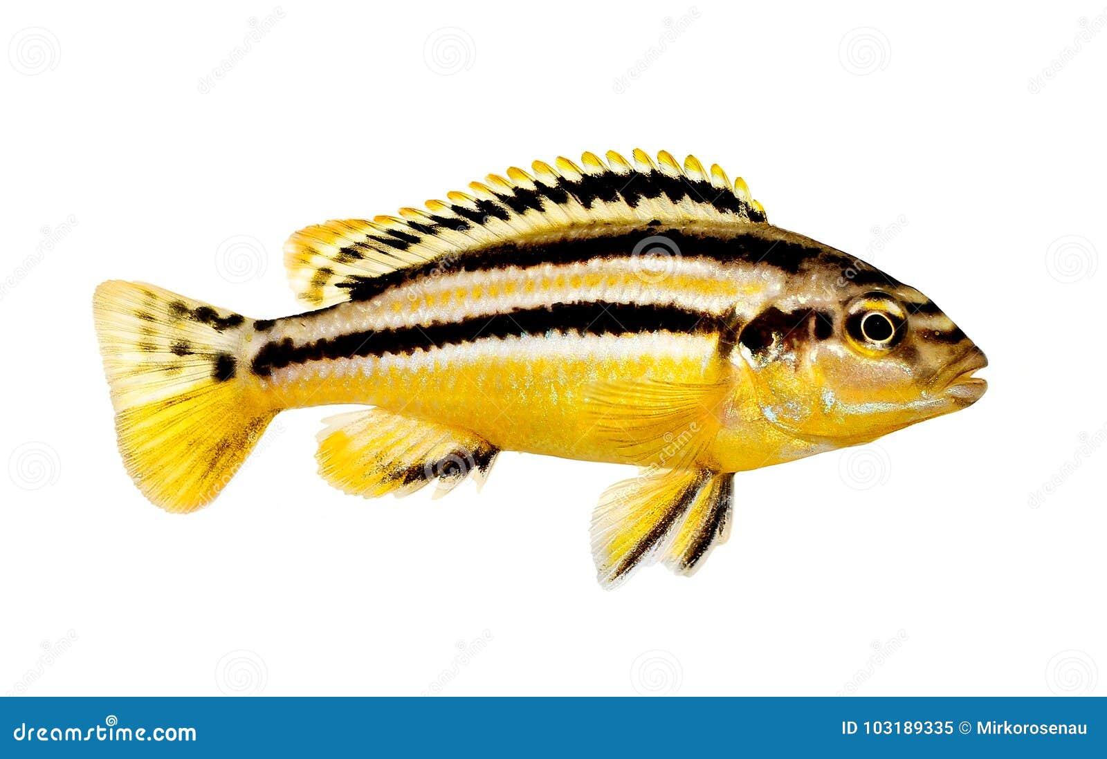 Pesce dorato dell acquario di mbuna di melanochromis auratus delle cichlidae di Auratus isolato