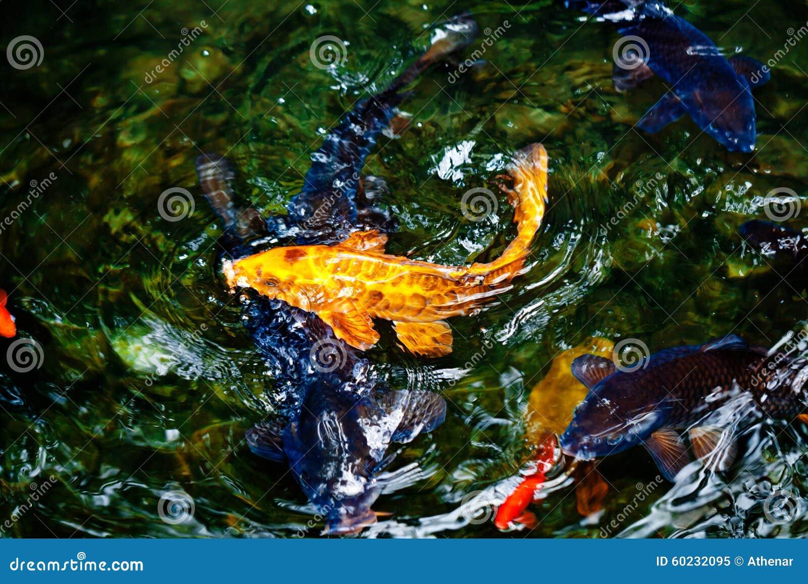 Pesce dorato e blu e rosso di koi immagine stock for Carpa pesce rosso