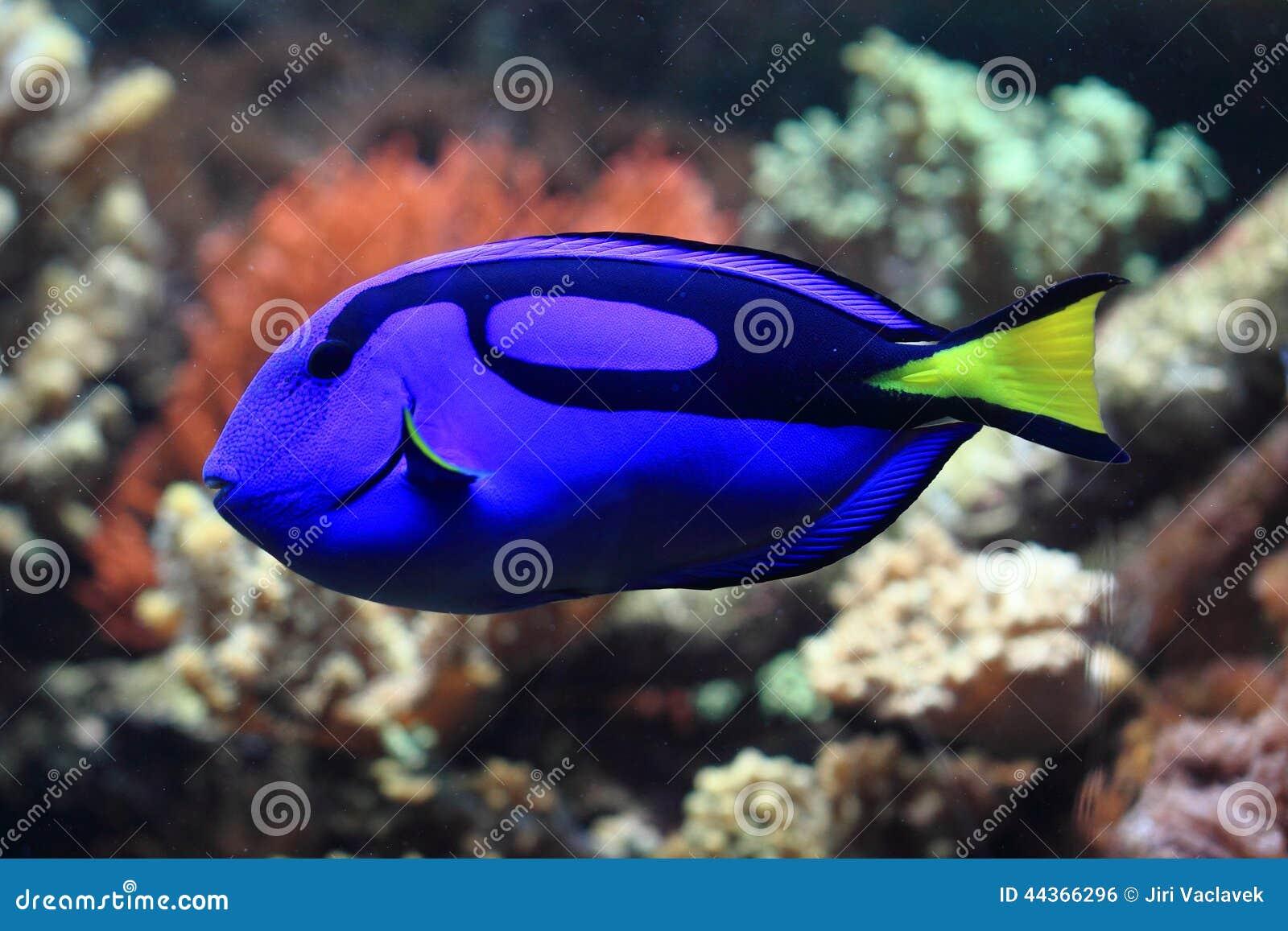 Pesce esotico blu e giallo