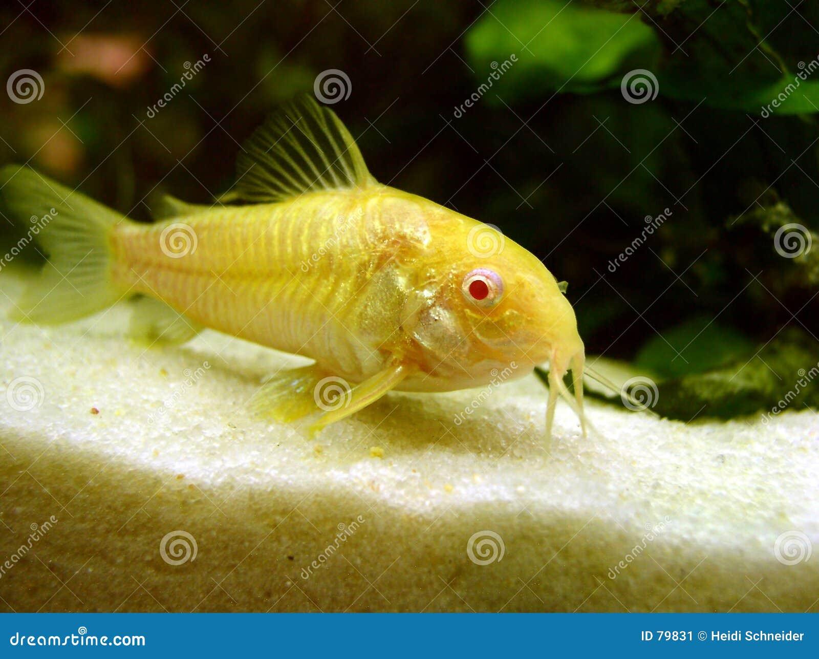 Pesce gatto immagine stock immagine di tropicale catfish for Pesce gatto acquario