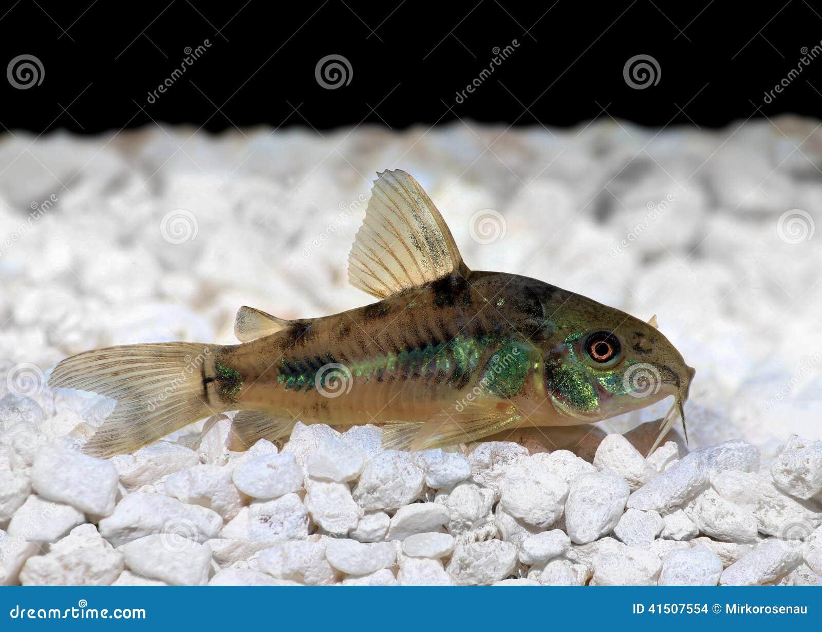 Pesce Gatto Di Paleatus Di Cory Corydoras Del Pepe Fotografia Stock