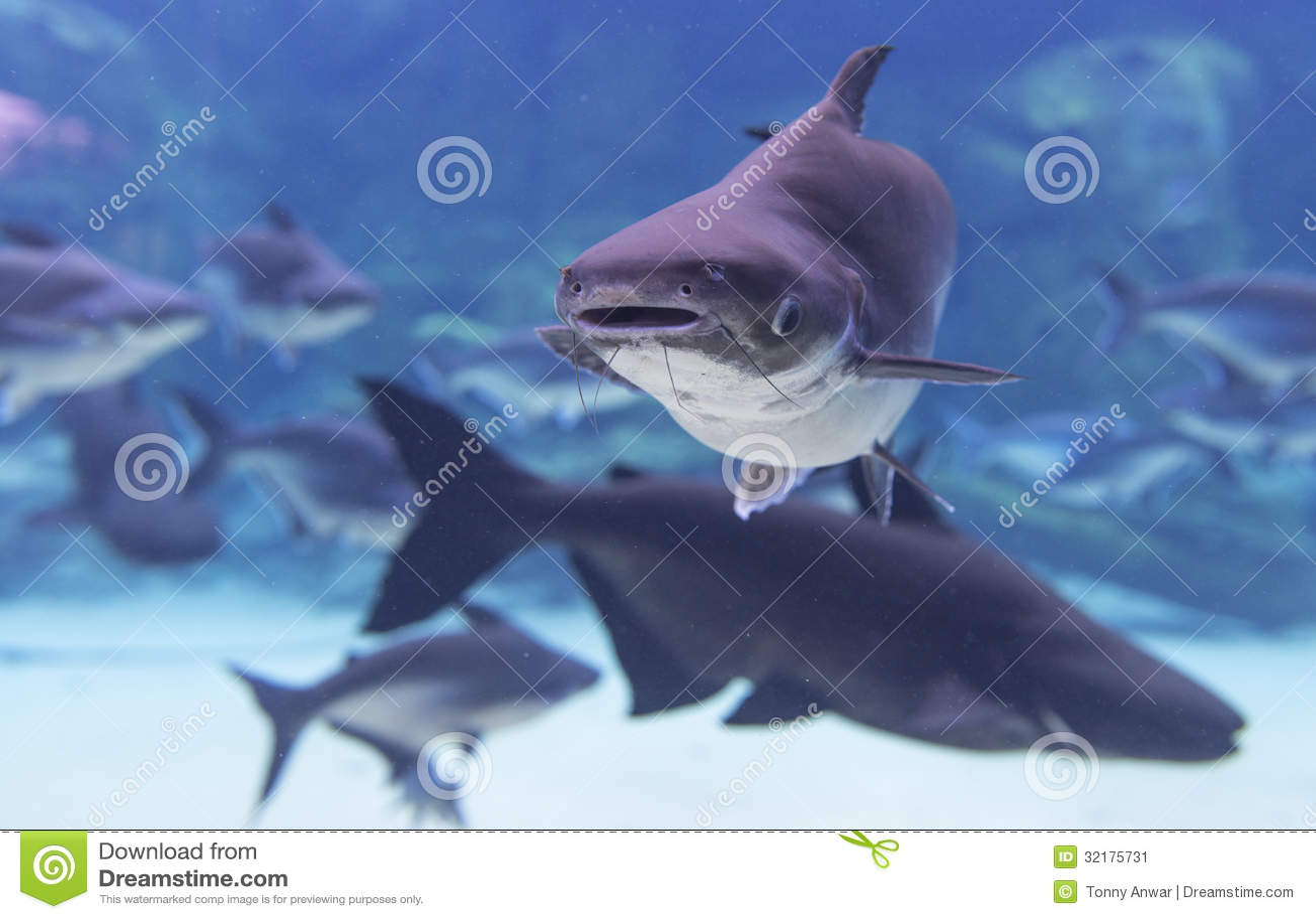 Pesce gatto gigante immagine stock immagine di freshwater for Pesce gatto acquario