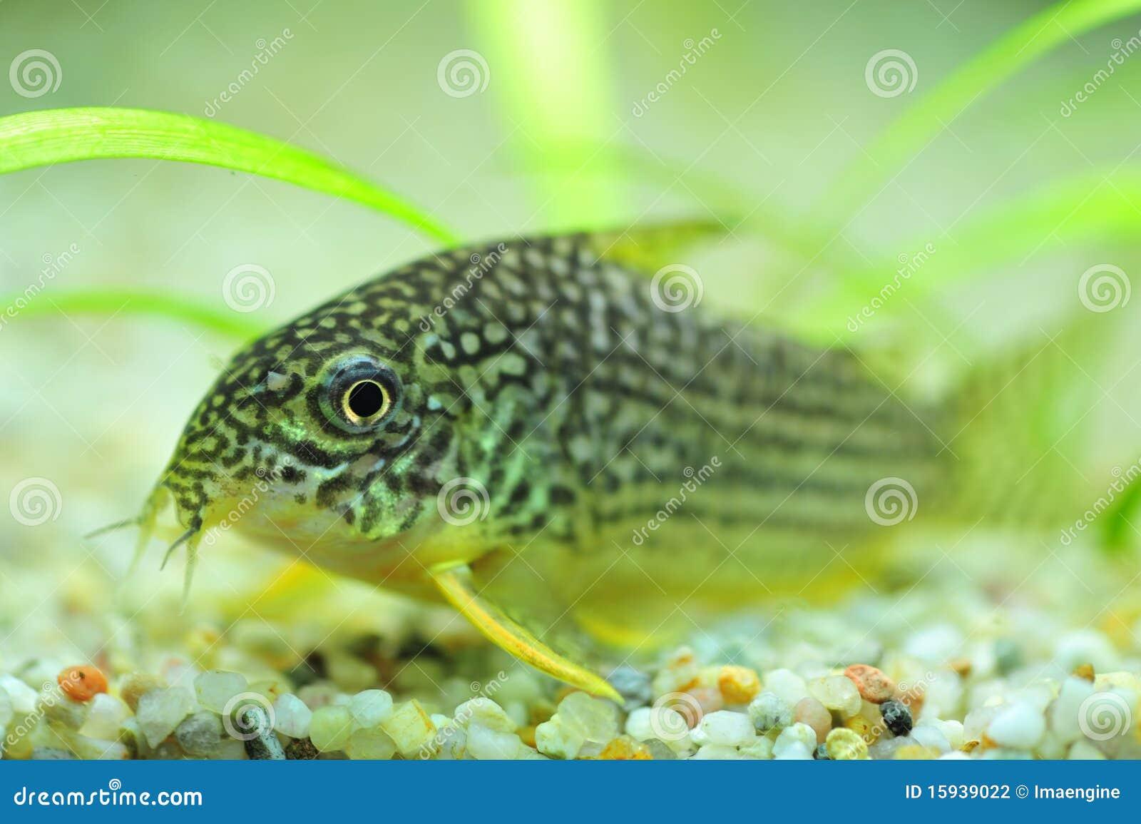 Pesce gatto macchiato per gli acquari fotografia stock for Pesce gatto acquario