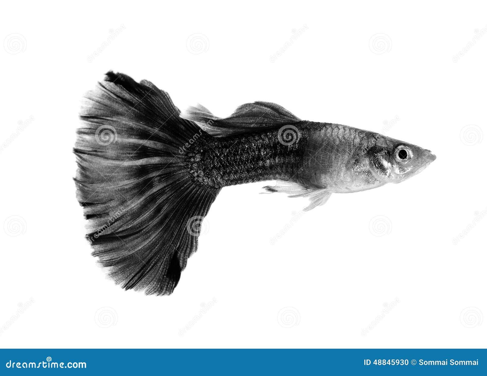 Pesce nero del guppy su fondo bianco