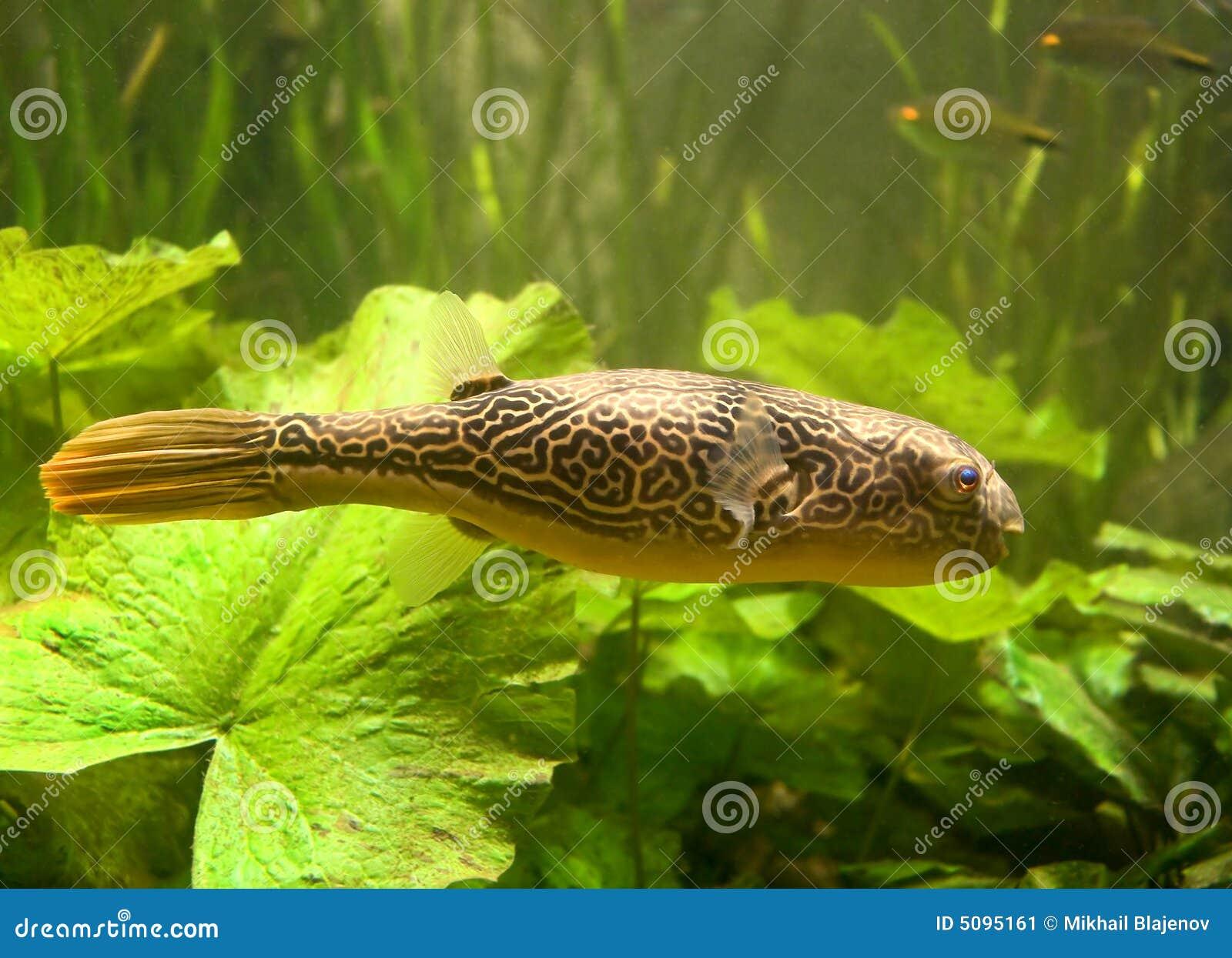 Pesce palla d 39 acqua dolce 1 immagine stock immagine 5095161 for Pesce pulitore acqua dolce