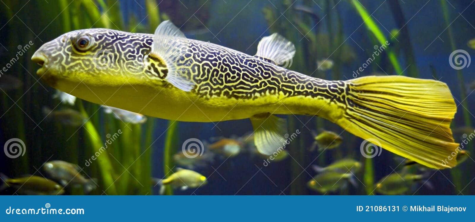 Pesce palla d 39 acqua dolce immagine stock immagine 21086131 for Pesce pulitore acqua dolce