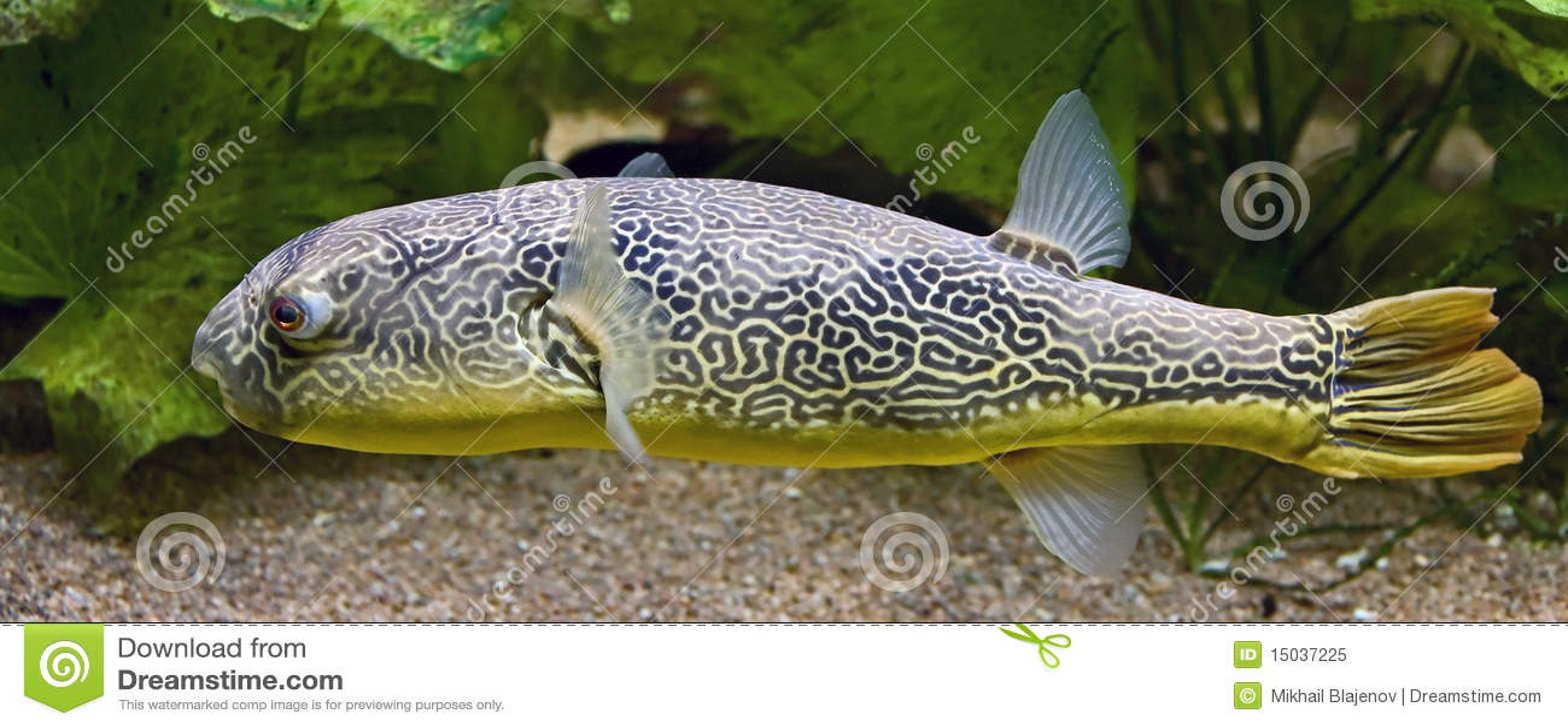 Pesce palla d 39 acqua dolce 3 immagine stock immagine di for Pesce pulitore acqua dolce fredda