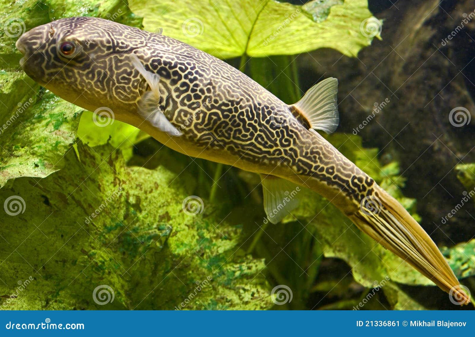 Pesce palla d 39 acqua dolce 5 immagine stock immagine di for Pesci tropicali acqua dolce