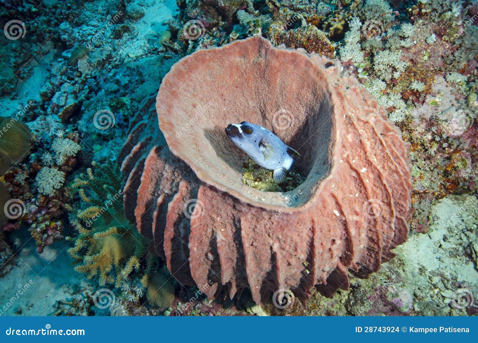 Pesce palla nella spugna enorme del barilotto fotografia for Pesce palla immagini