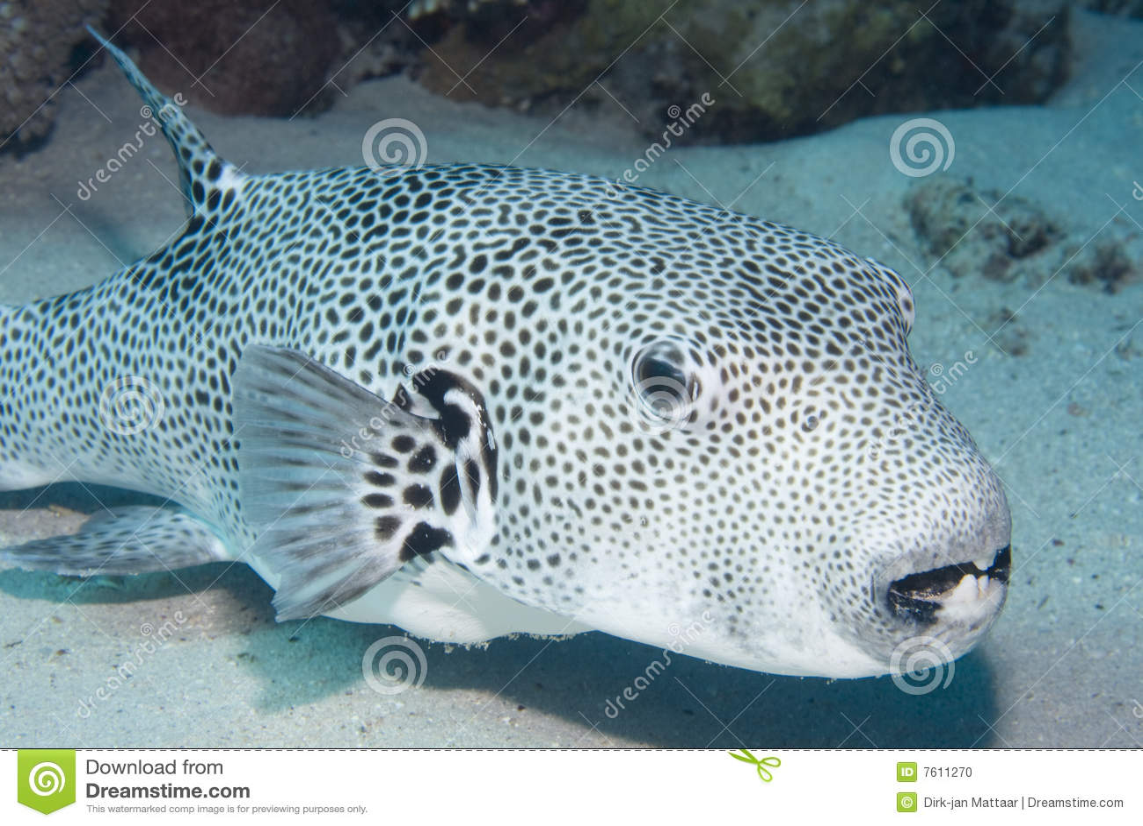 Pesce palla stellato fotografia stock immagine di sabbia for Pesce palla immagini