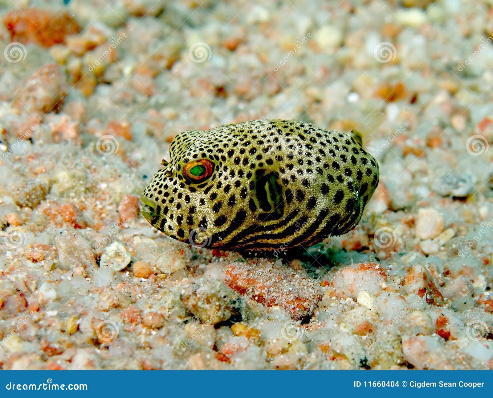 Pesce palla stellato del bambino immagini stock immagine for Pesce palla immagini