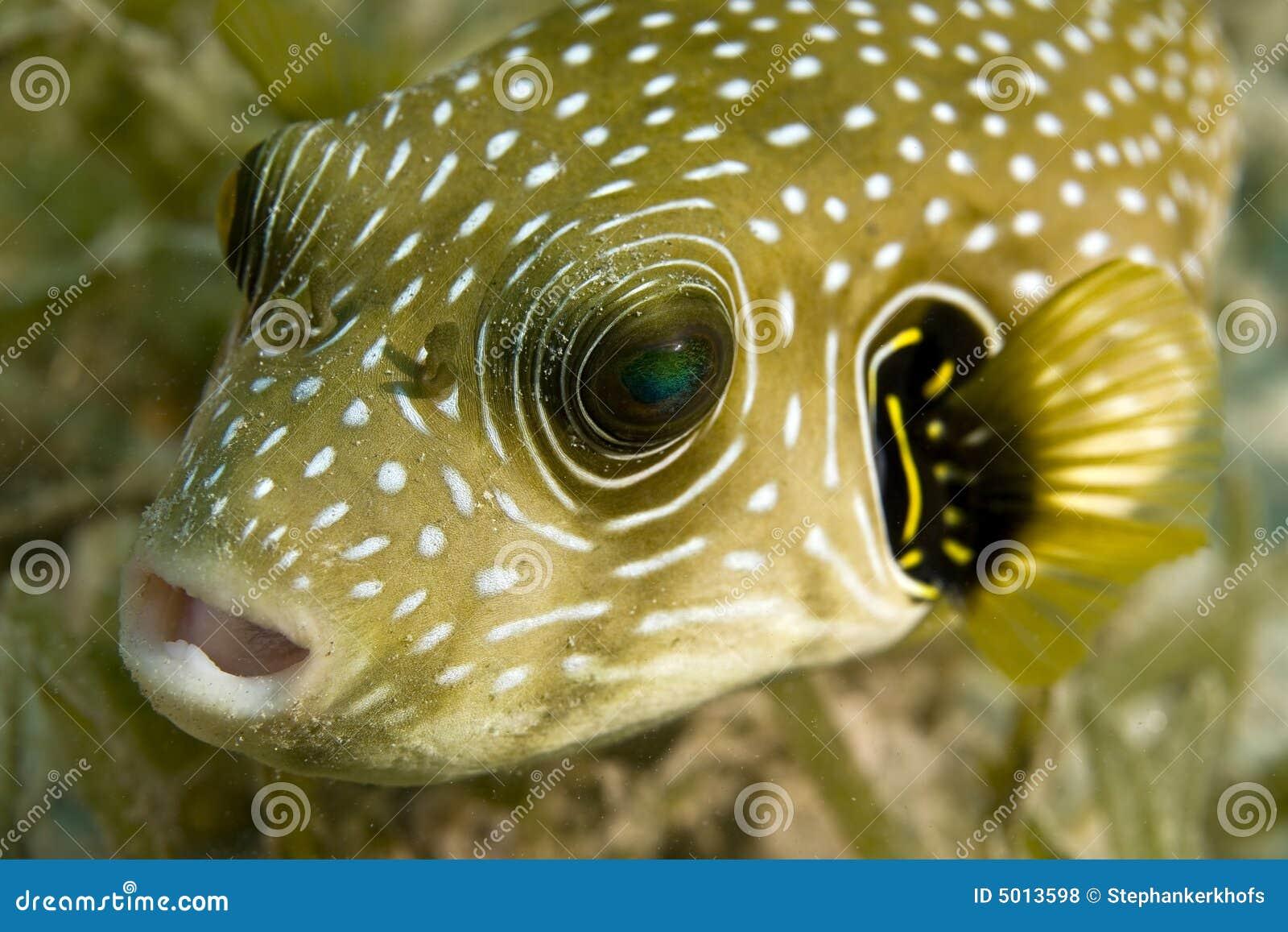 Pesce palla stellato (stellatus del arothron)