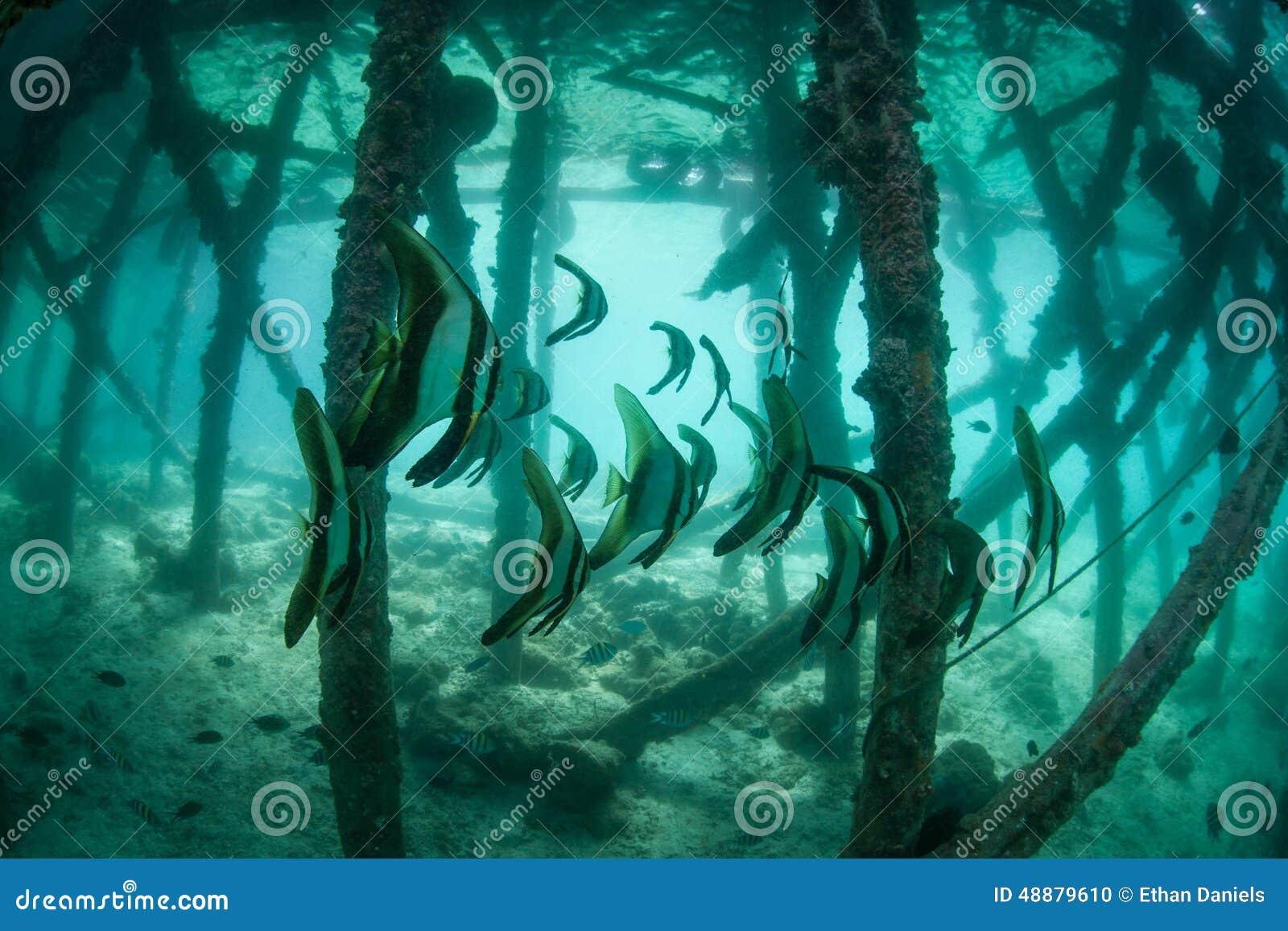 Pesce pipistrello sotto il pilastro