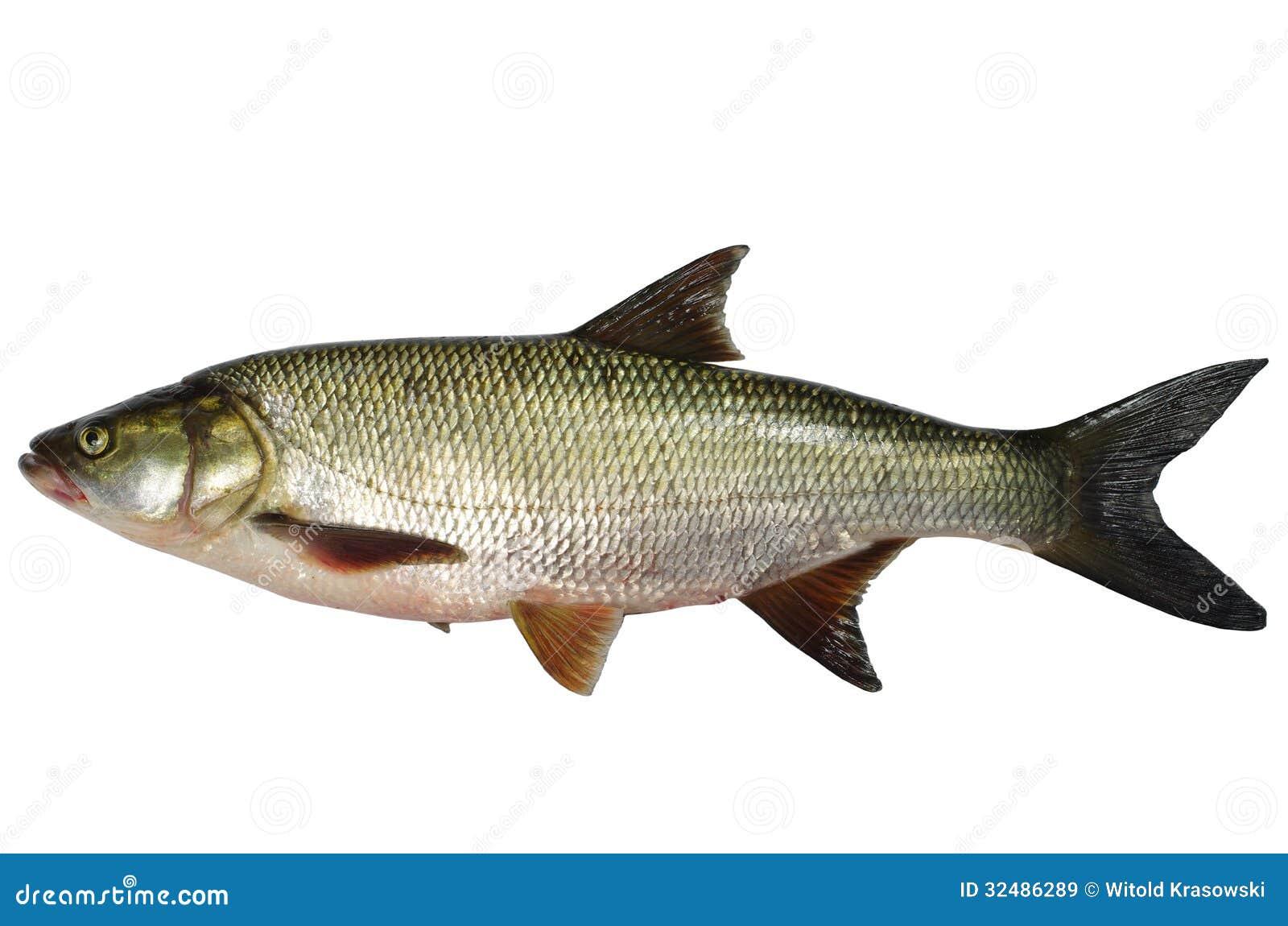 Pesce predatore di asp immagine stock immagine di for Pesce pulitore acqua dolce