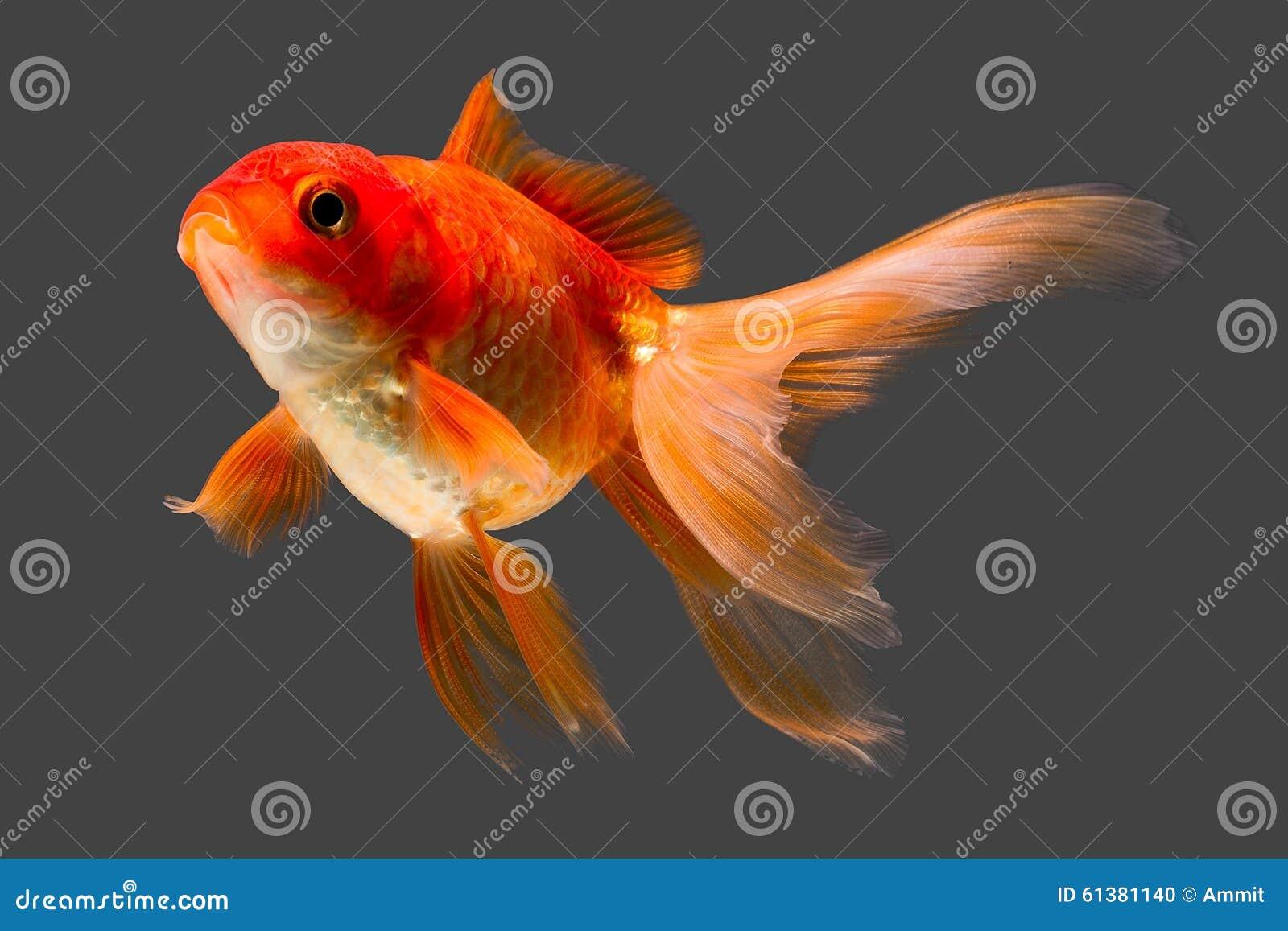 Pesce rosso rosso di oranda fotografia stock immagine for Pesce oranda