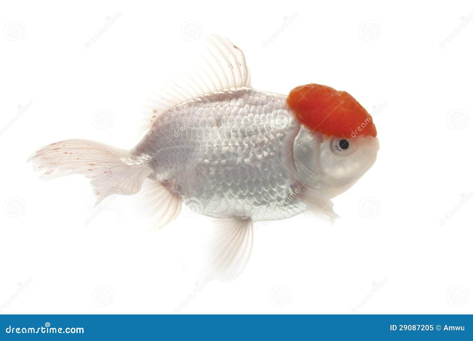 Pesce rosso rosso e bianco immagine stock immagine di for Pesce rosso butterfly