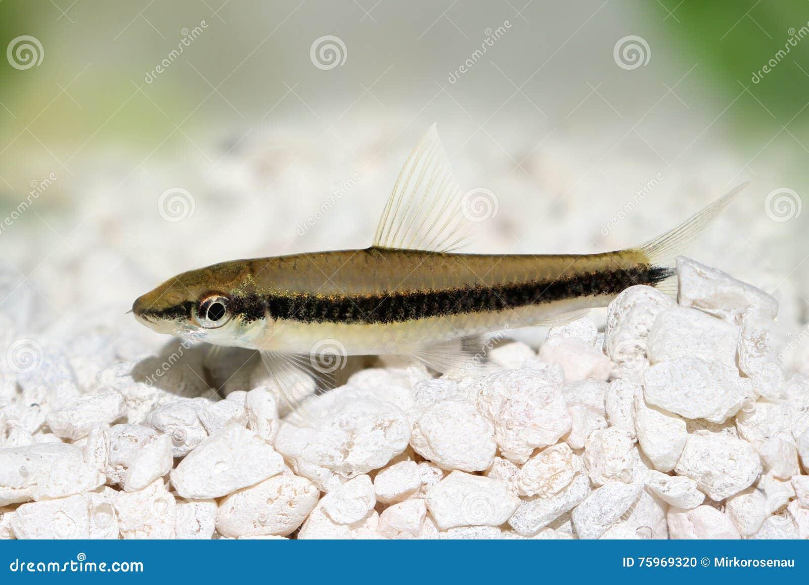 Pesce siamese reale dell 39 acquario di oblongus di for Pesce gatto acquario