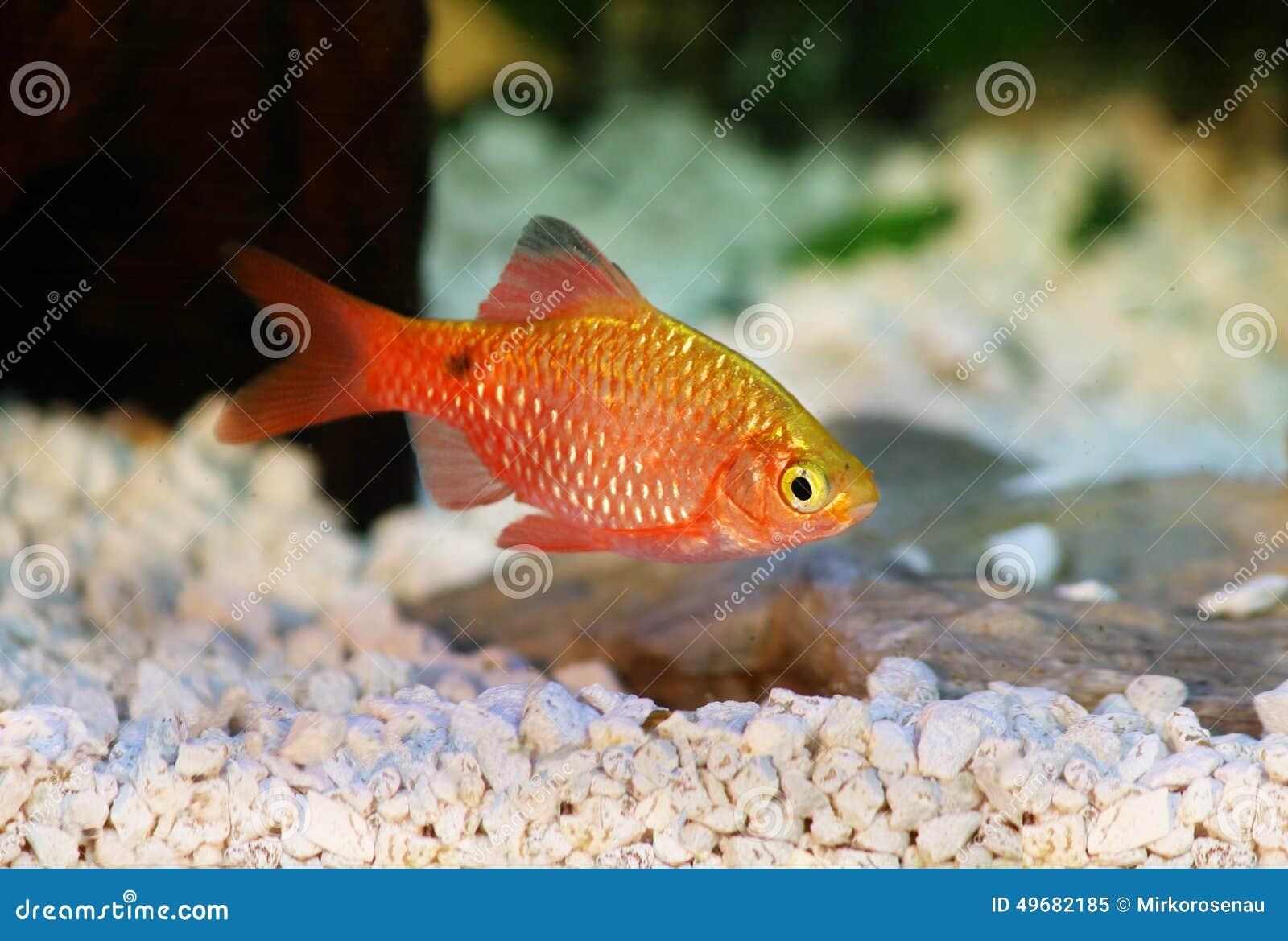 Pesce tropicale d 39 acqua dolce dell 39 acquario di conchonius for Pesce pulitore acqua dolce