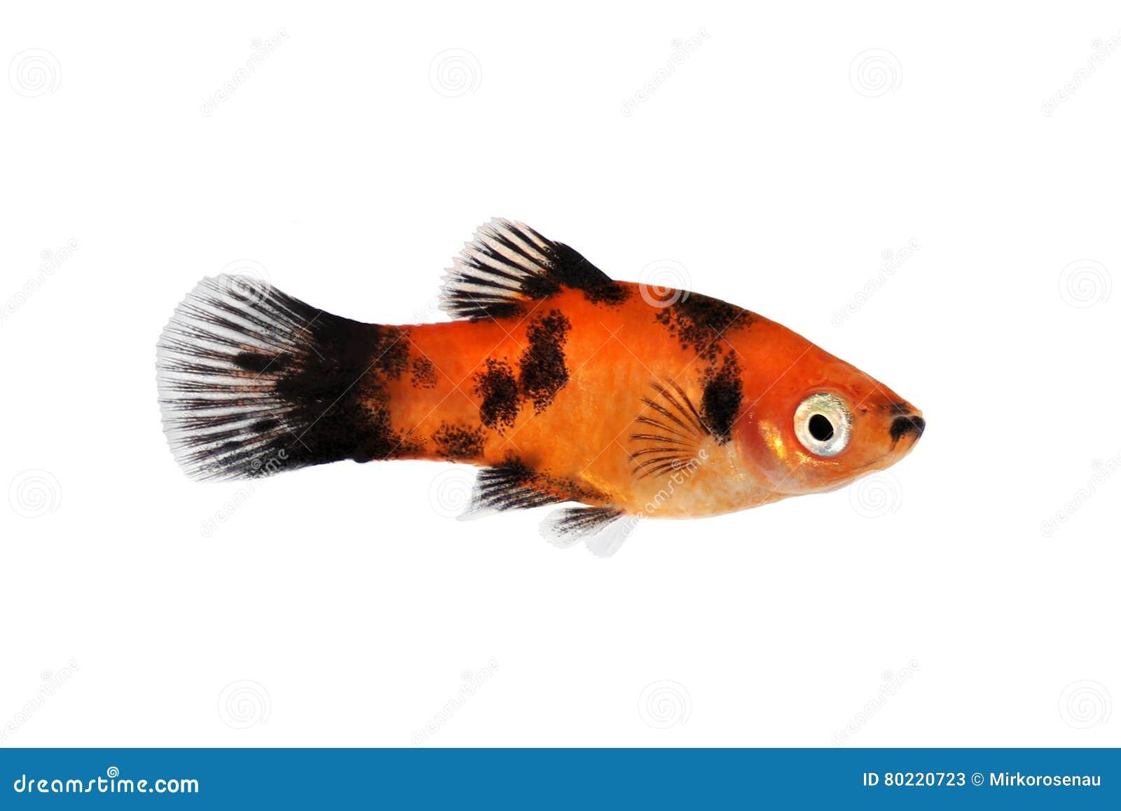 Pesce tropicale dell acquario del platy di maculatus maschio nero rosso di Xiphophorus