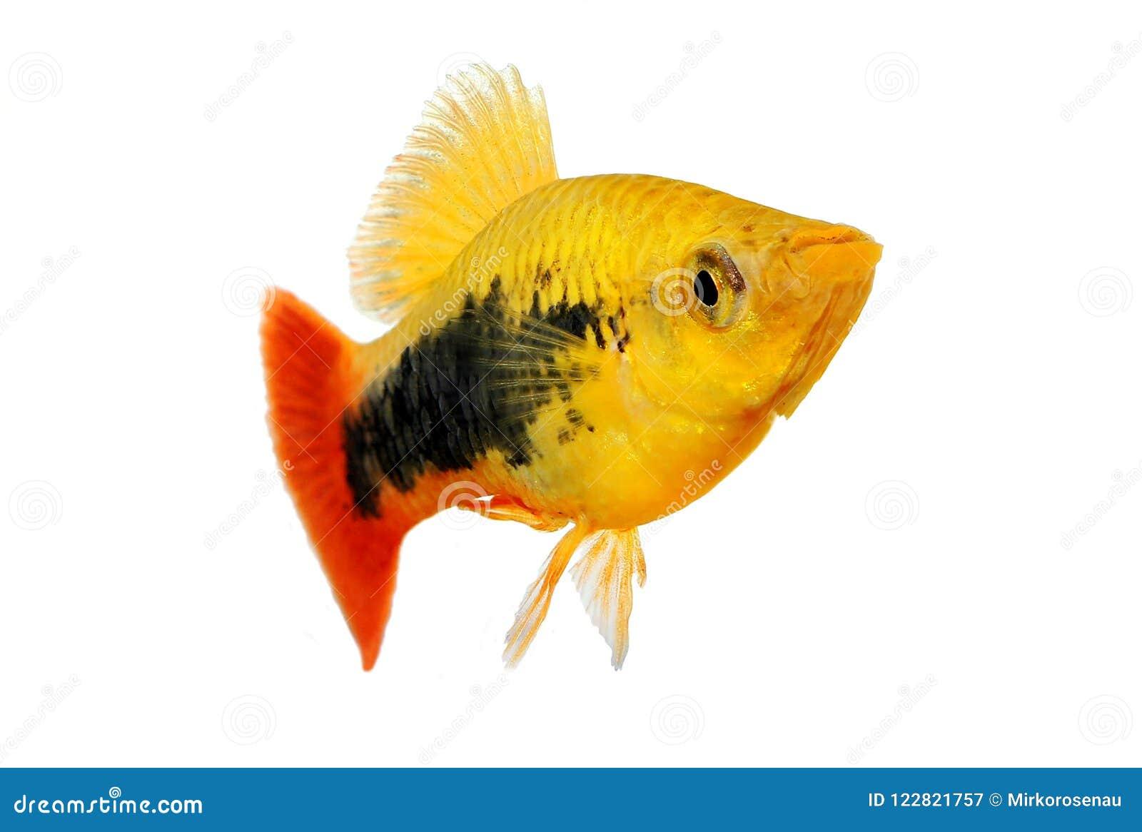 Pesce tropicale dell acquario di maculatus maschio di Xiphophorus del platy dello smoking dello sprazzo di sole